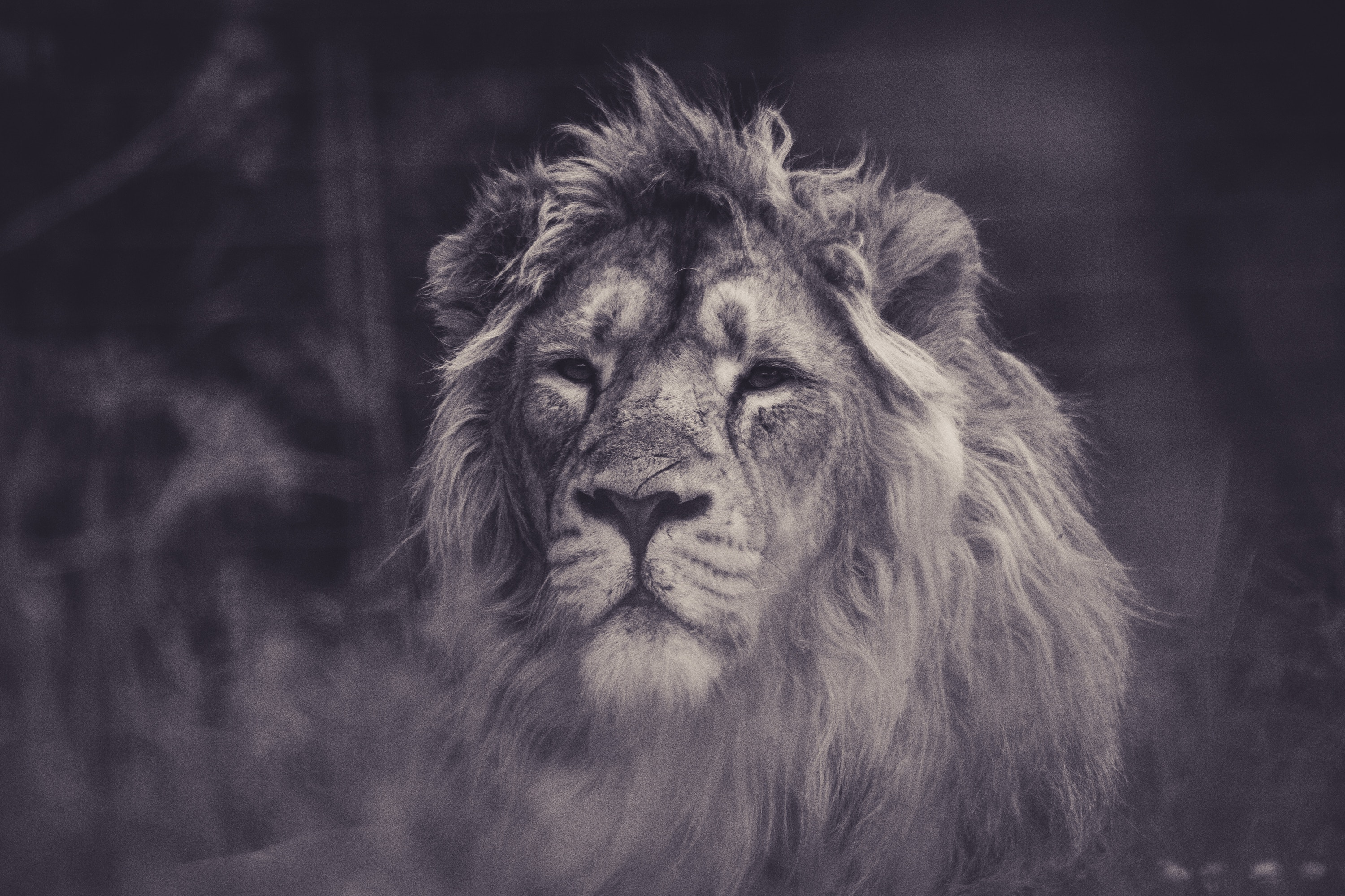95218 download wallpaper Animals, Lion, Predator, Sight, Opinion, Bw, Chb, Mane screensavers and pictures for free