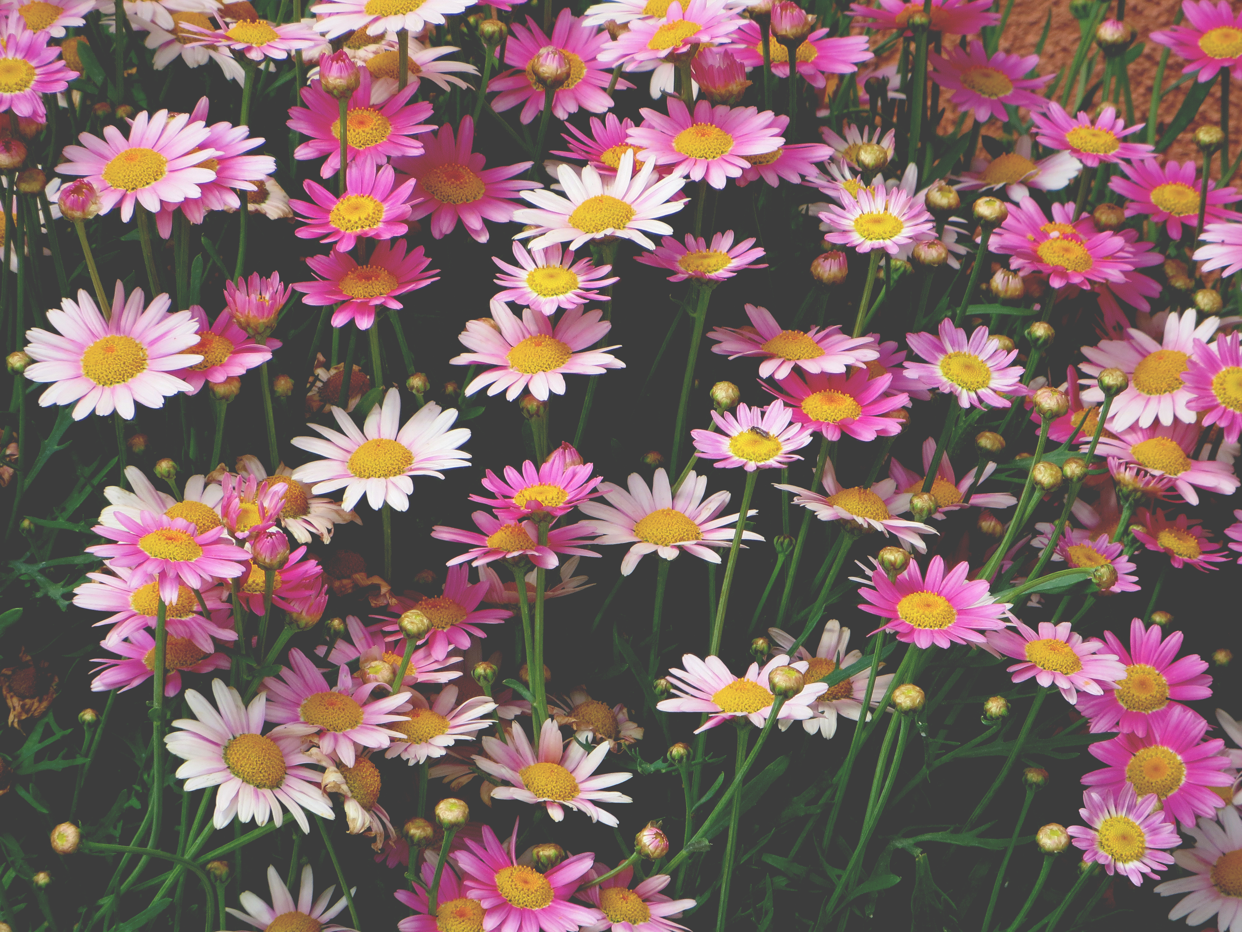 93539 Screensavers and Wallpapers Flower Bed for phone. Download Flowers, Pink, Camomile, Flower Bed, Flowerbed pictures for free