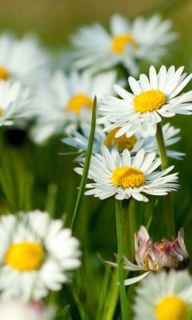 21306 descargar fondo de pantalla Plantas, Camomila: protectores de pantalla e imágenes gratis