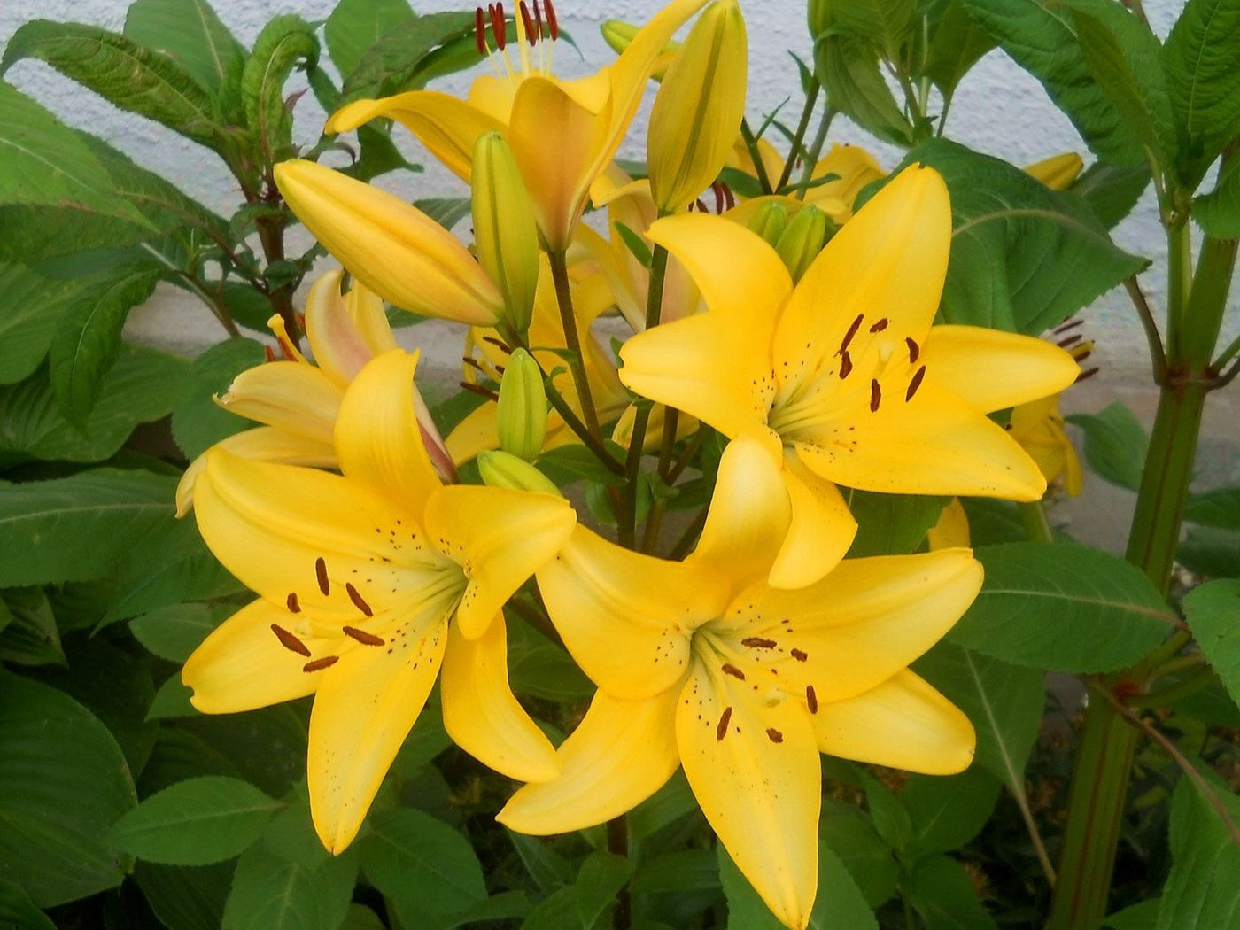 157603 download wallpaper Flowers, Lilies, Flower Bed, Flowerbed, Wall, Greens, Stamens screensavers and pictures for free