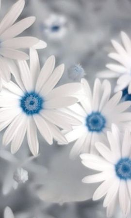 18935 descargar fondo de pantalla Plantas, Flores, Camomila: protectores de pantalla e imágenes gratis