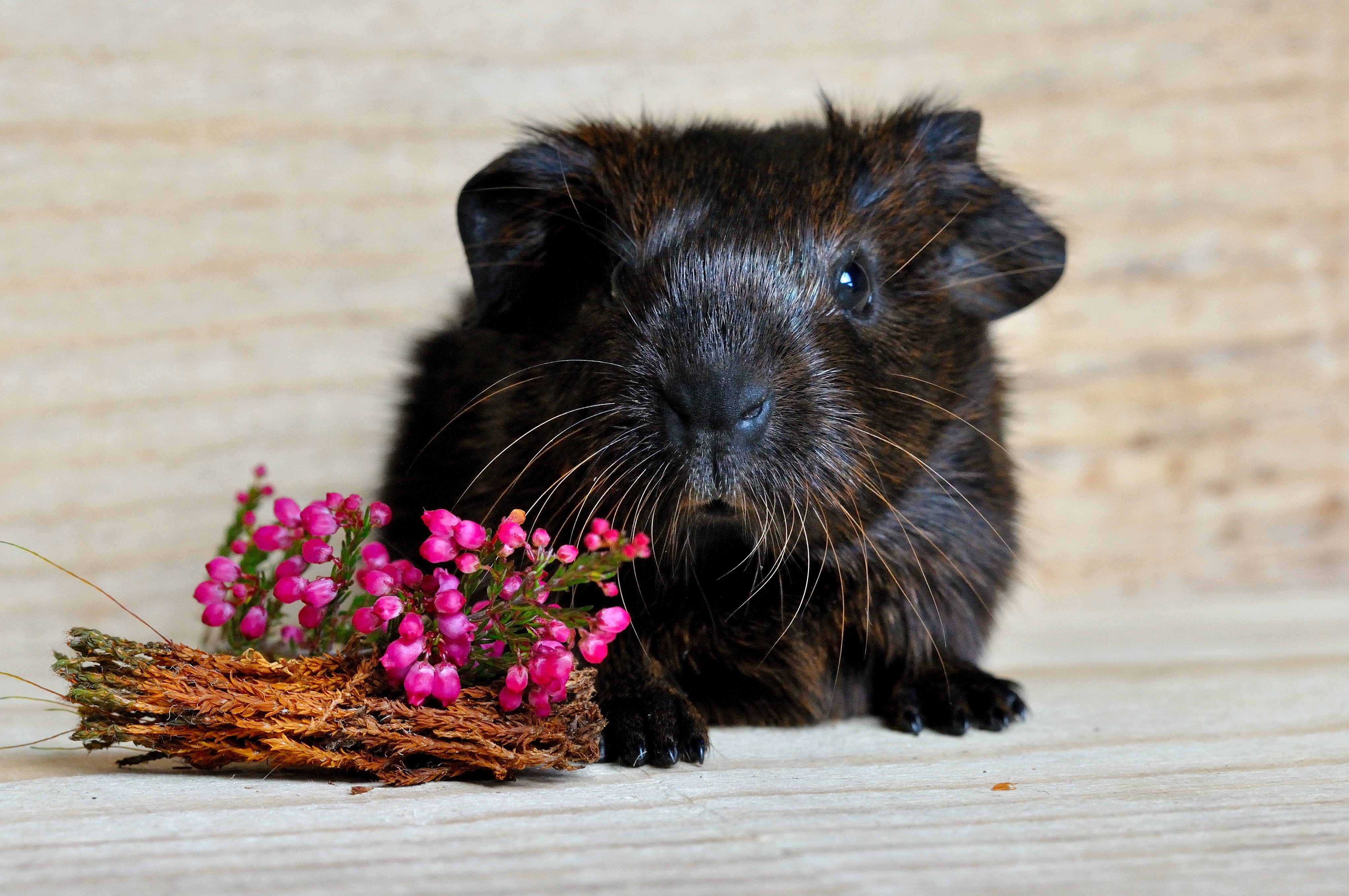 155253 download wallpaper Animals, Guinea Pig, Muzzle, Rodent, Flowers screensavers and pictures for free