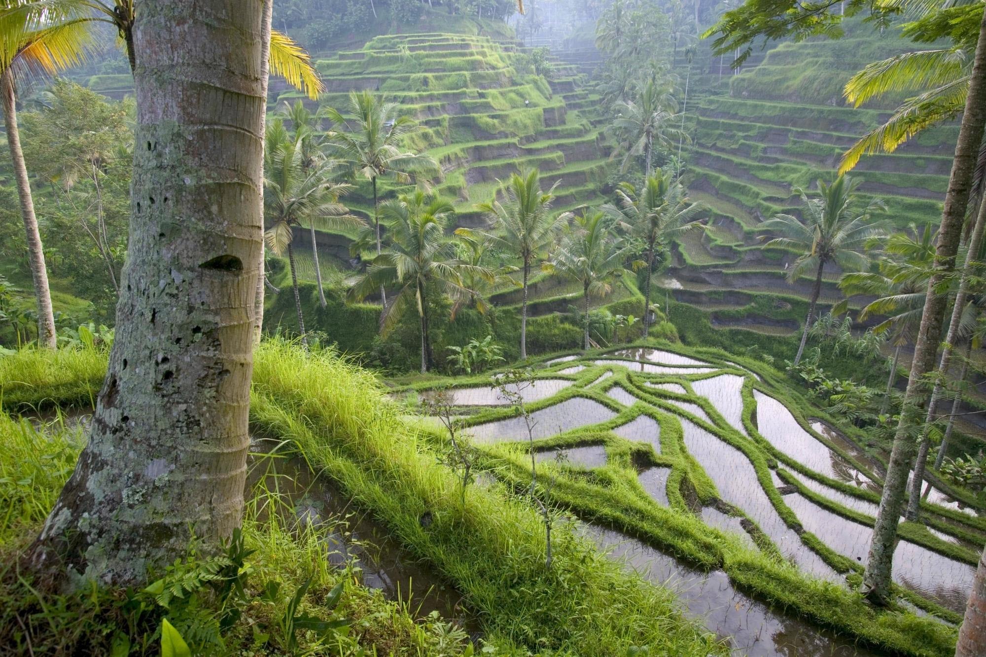 131747 Заставки и Обои Азия на телефон. Скачать Азия, Природа, Пальмы, Хозяйство, Рисовые Поля картинки бесплатно