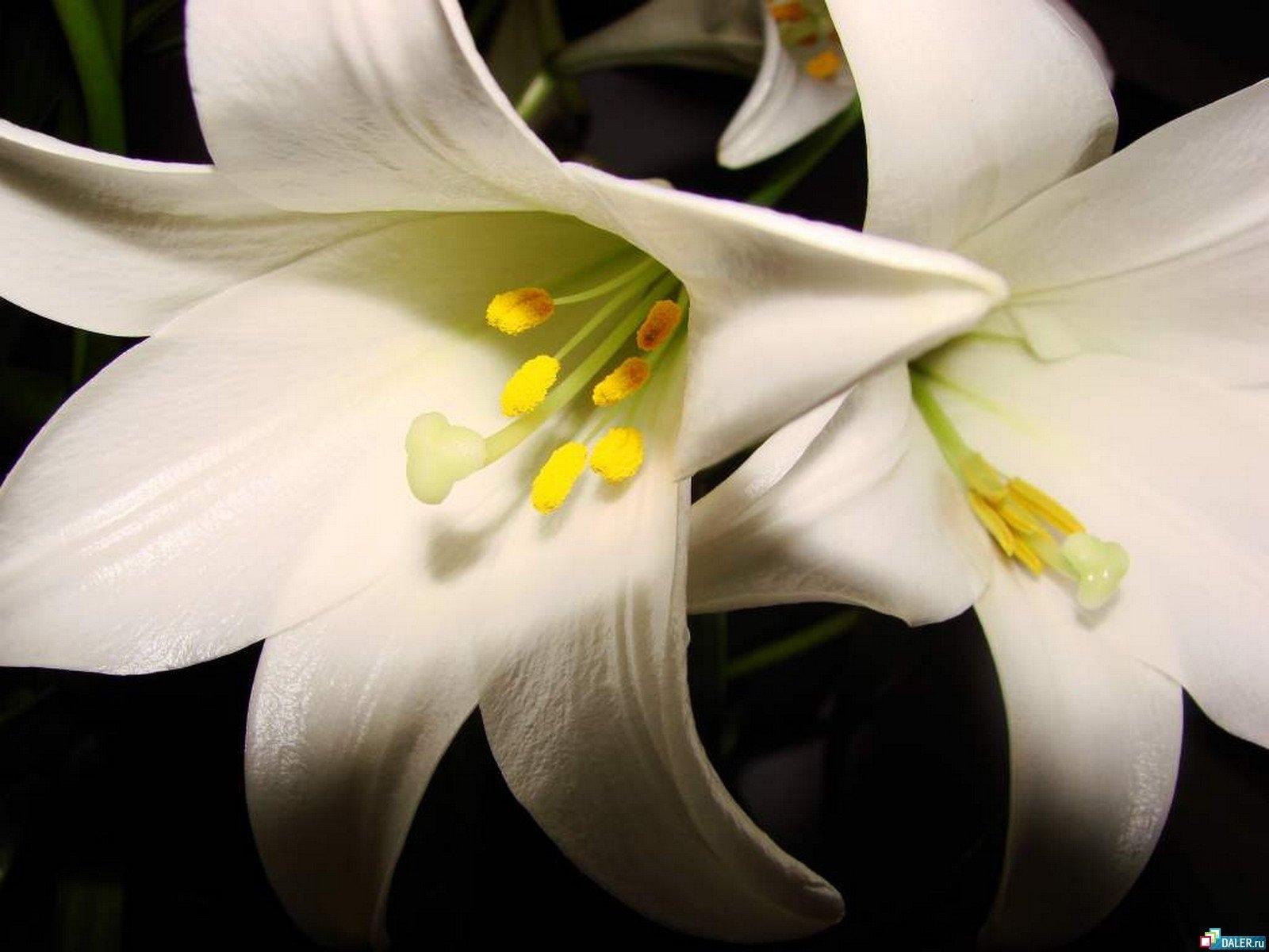 1246 télécharger le fond d'écran Plantes, Fleurs, Lilies - économiseurs d'écran et images gratuitement