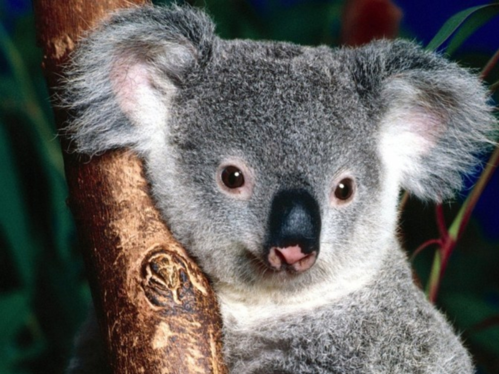 6062 download wallpaper Animals, Koalas screensavers and pictures for free