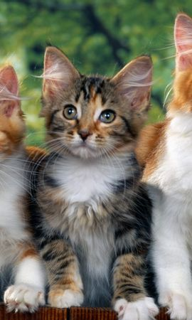 8786 download wallpaper Animals, Cats screensavers and pictures for free