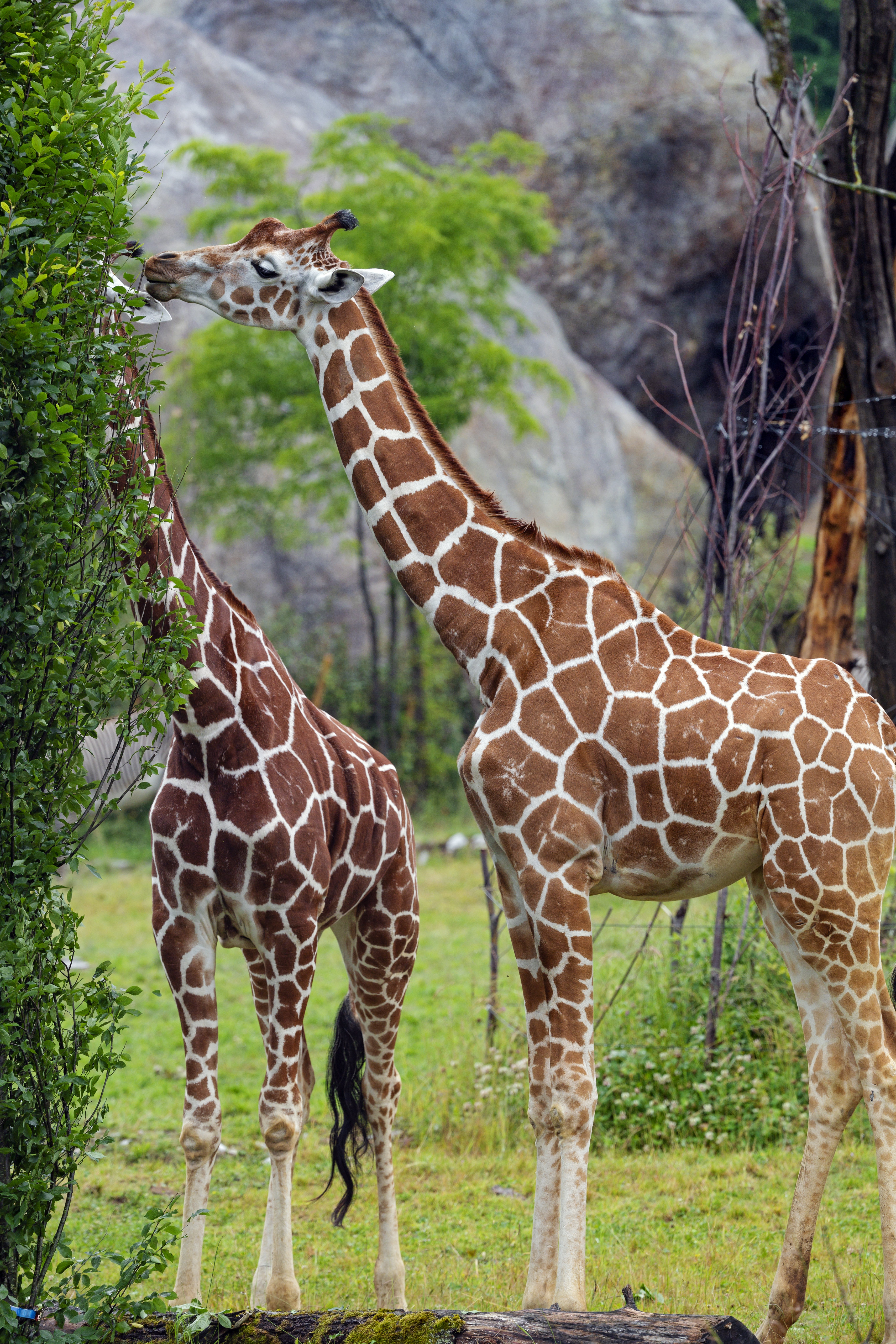 126910 download wallpaper Animals, Animal, Neck, Bush, Giraffes screensavers and pictures for free