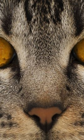 137746 download wallpaper Animals, Cat, Muzzle, Eyes, Nose screensavers and pictures for free