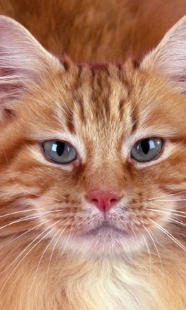 3921 download wallpaper Animals, Cats screensavers and pictures for free