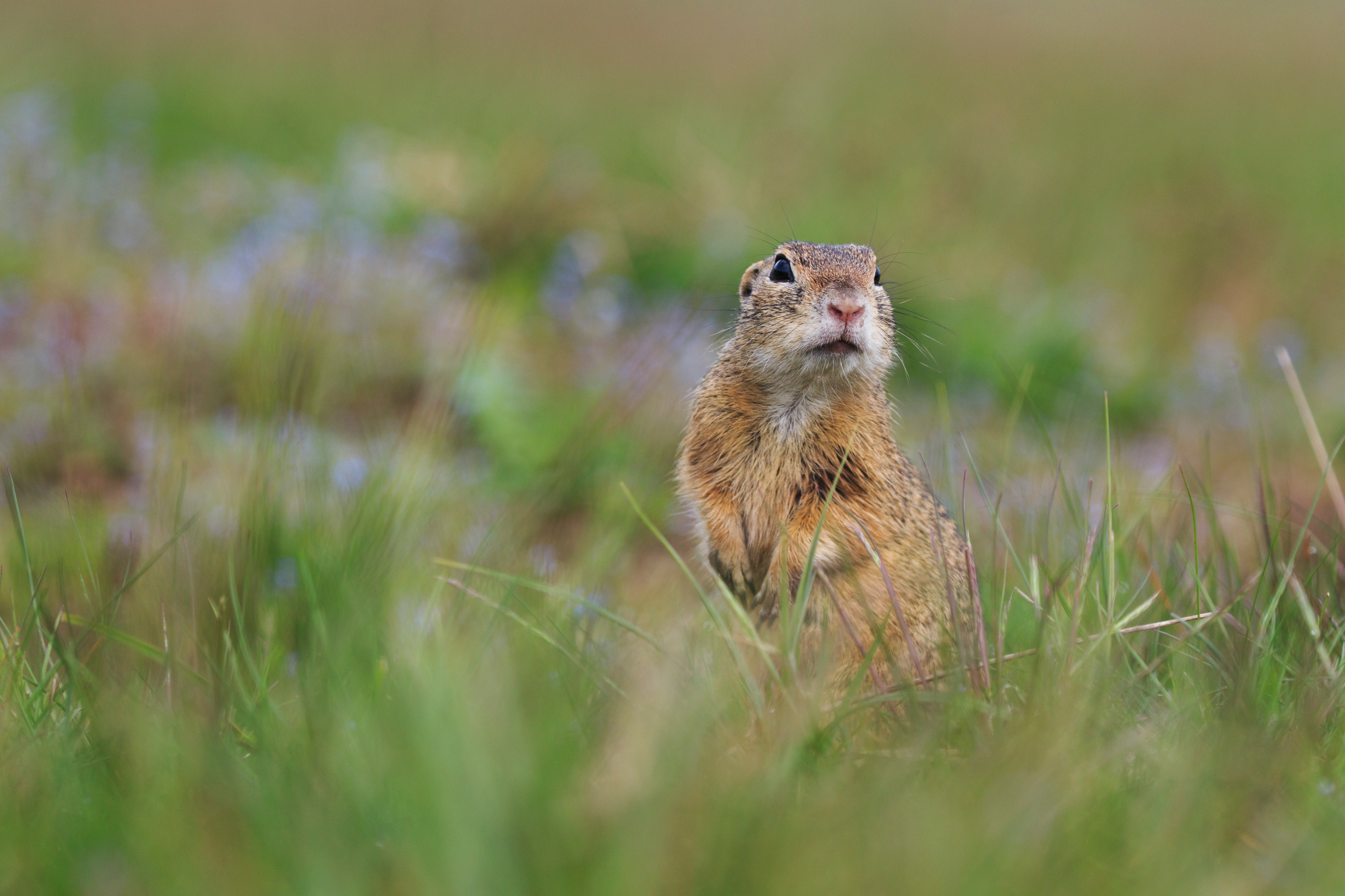 79066 download wallpaper Animals, Prairie Dog, Meadow Dog, Animal, Grass, Blur, Smooth, Wildlife screensavers and pictures for free