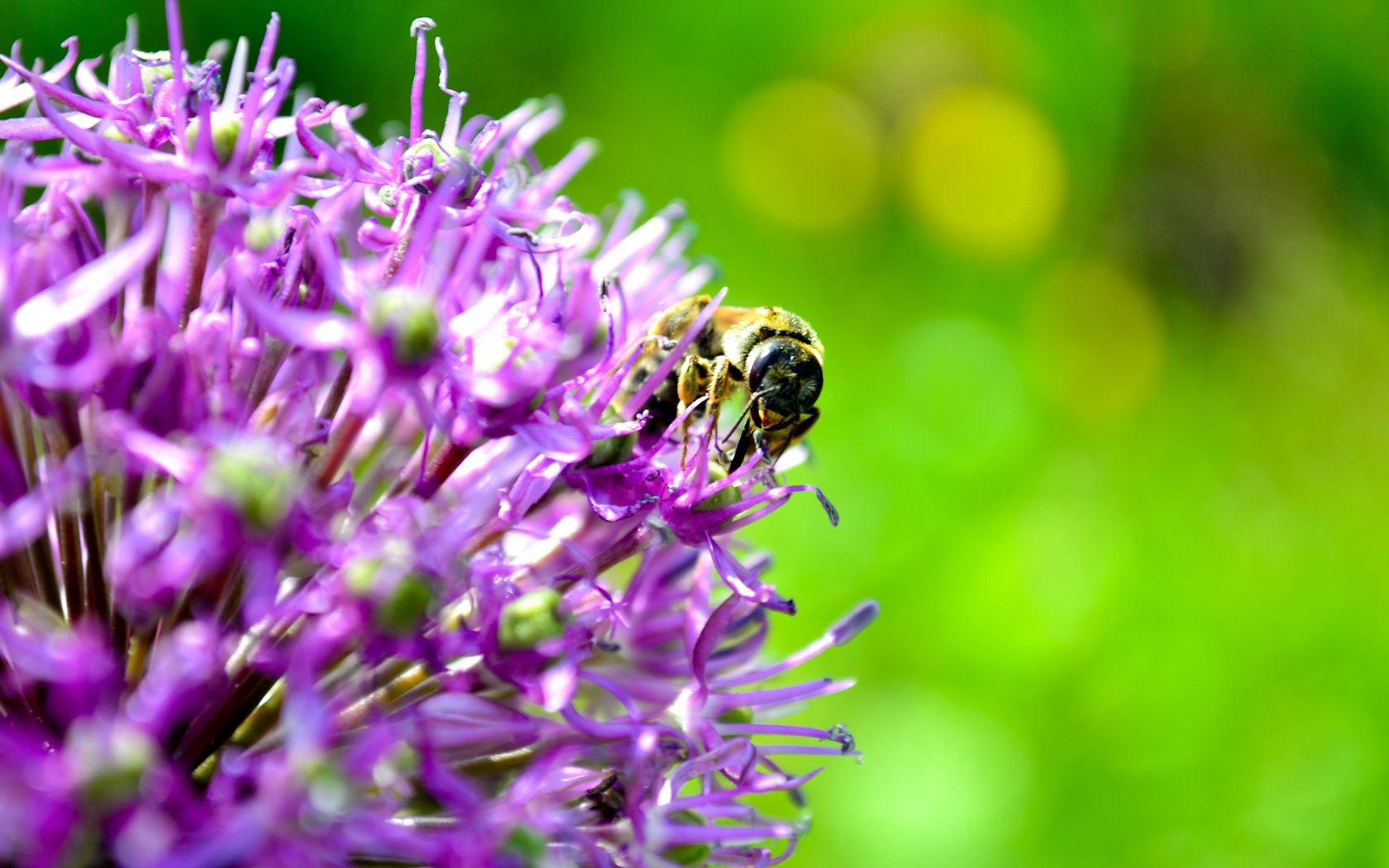 152824 скачать обои Макро, Пчела, Цветок, Опыление, Фон - заставки и картинки бесплатно