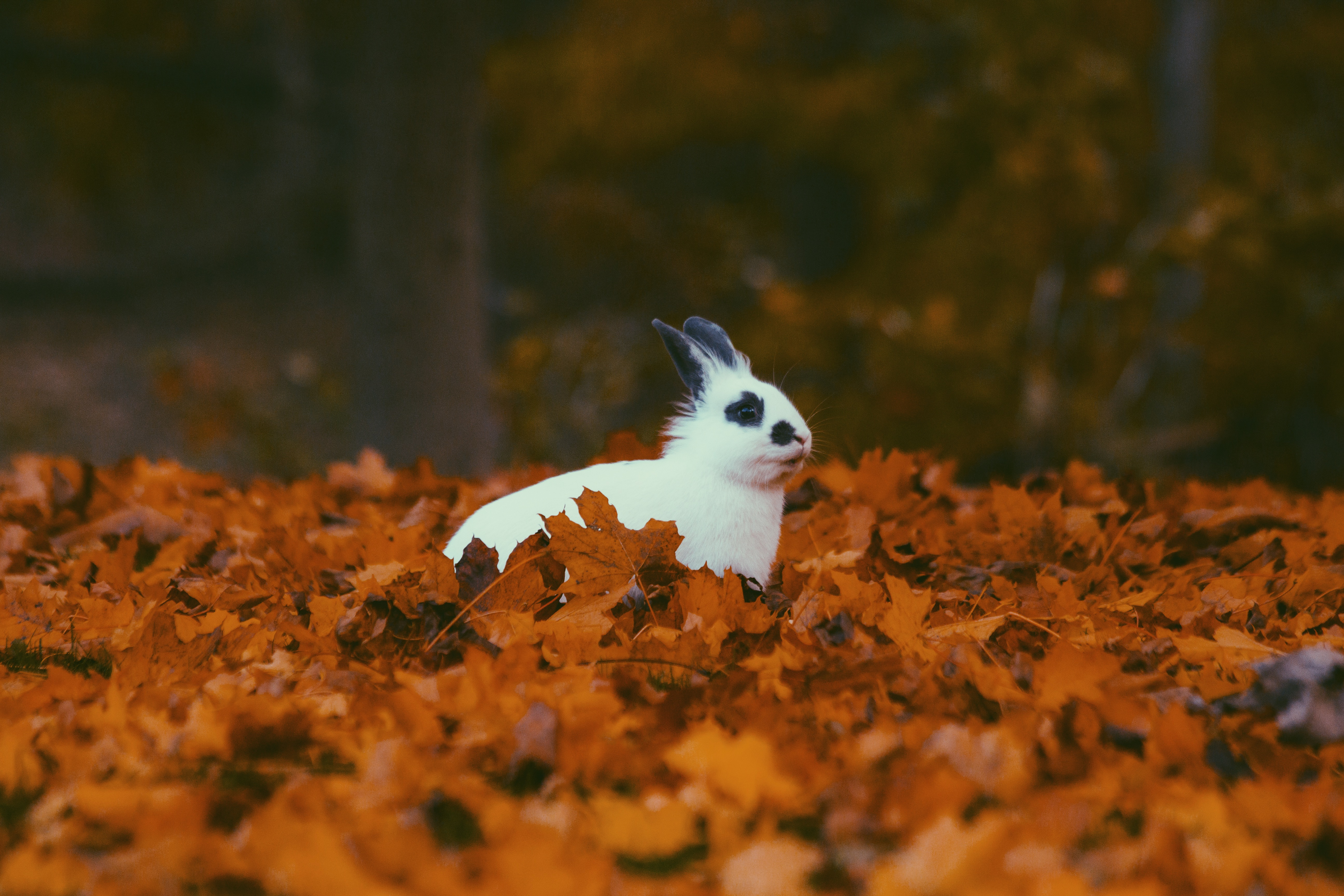 149380 Hintergrundbild herunterladen Kaninchen, Tiere, Herbst, Laub - Bildschirmschoner und Bilder kostenlos
