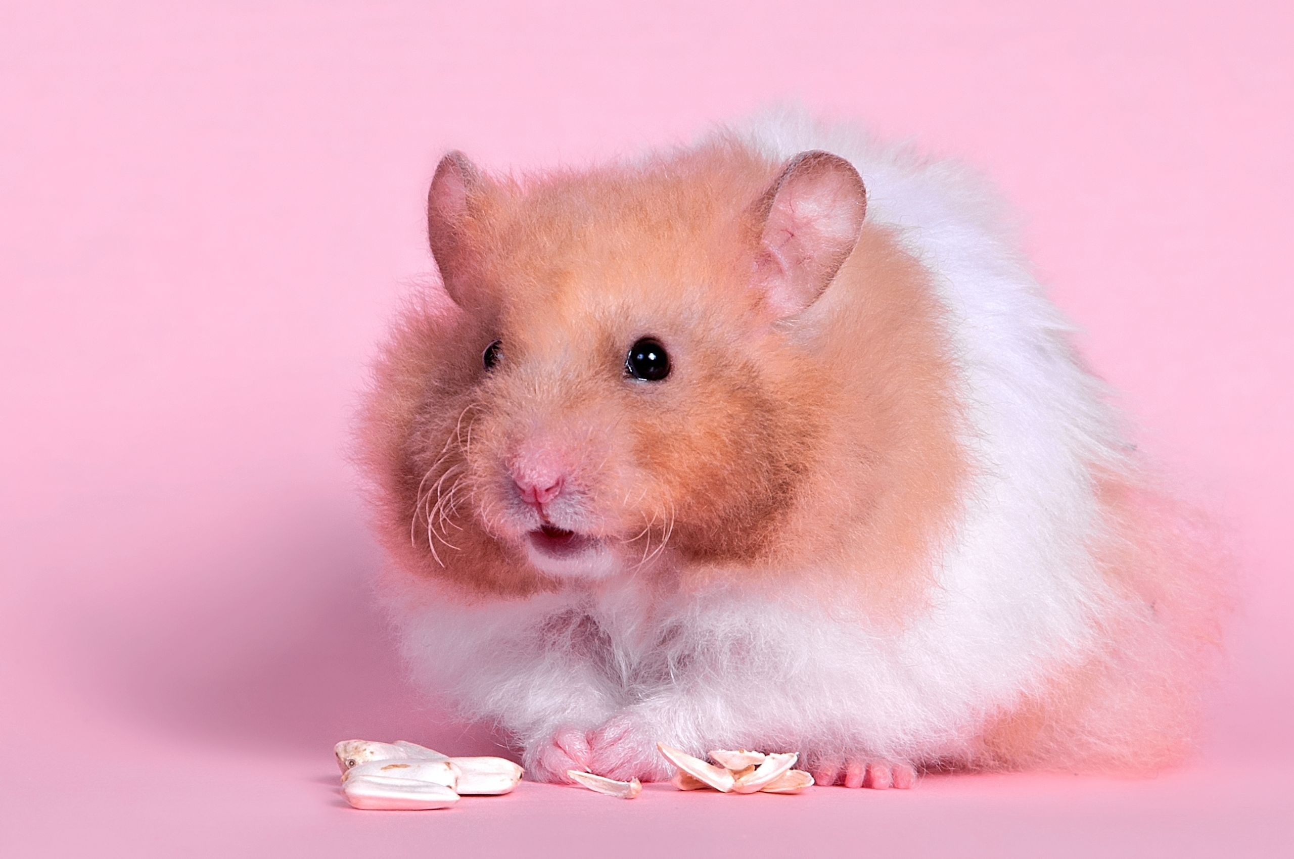 56967 download wallpaper Animals, Hamster, Fluffy, Color, Rodent, Food screensavers and pictures for free