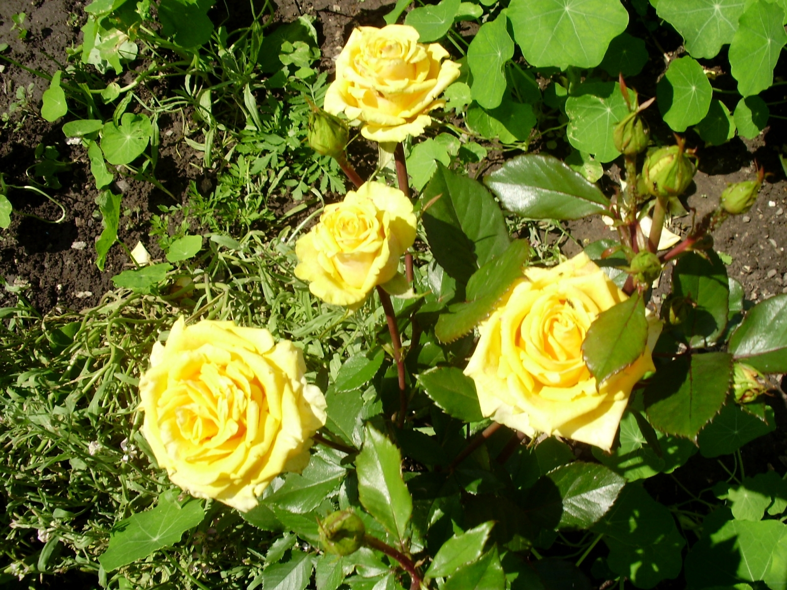 5877 download wallpaper Plants, Flowers, Roses screensavers and pictures for free