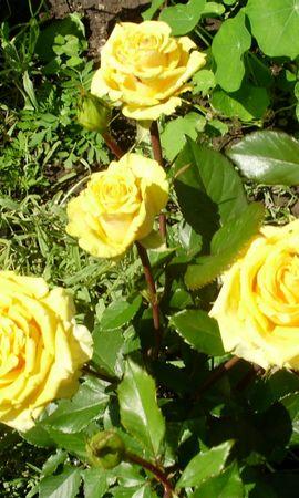 5877 скачать обои Растения, Цветы, Розы - заставки и картинки бесплатно