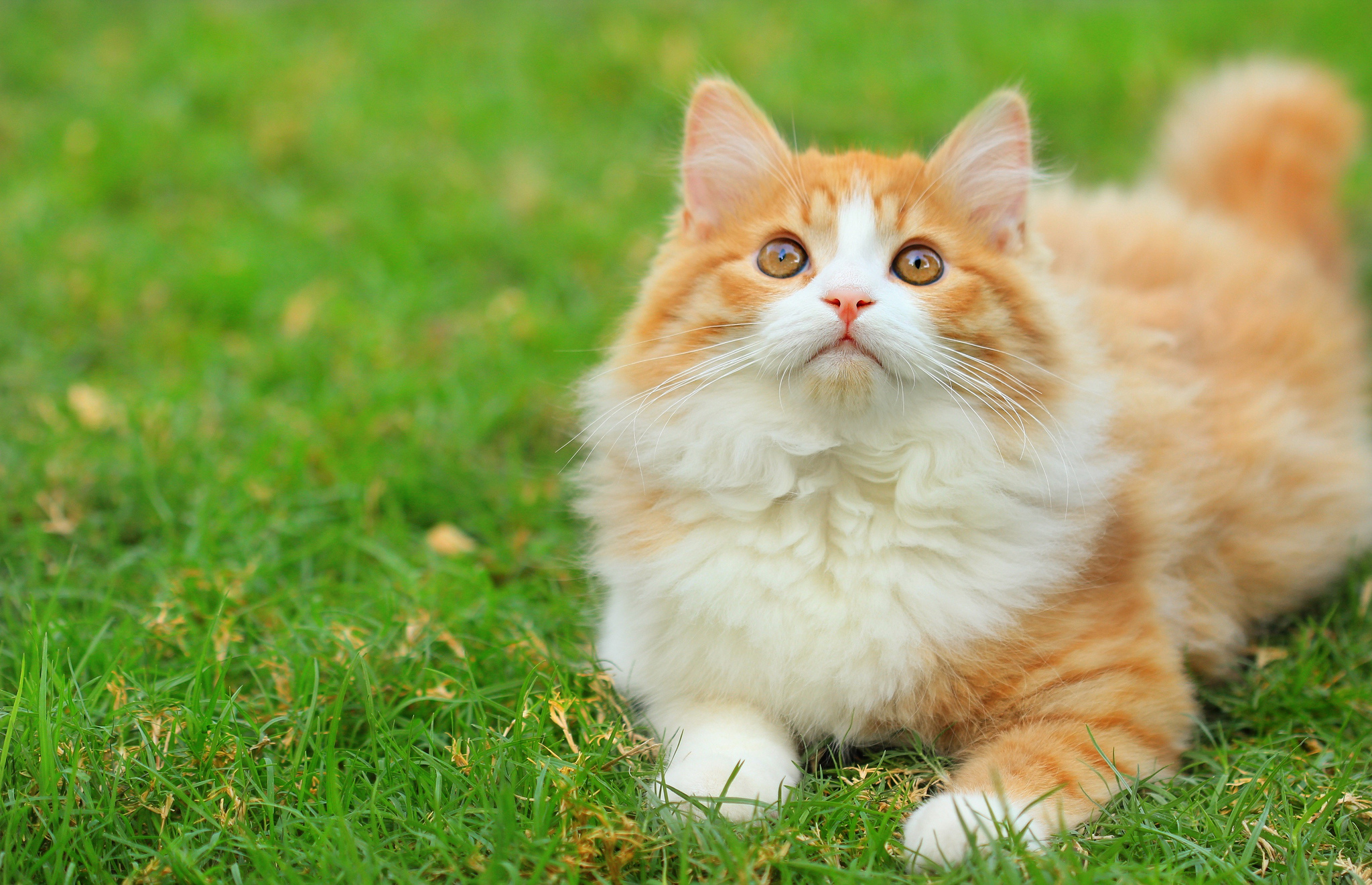 148891 Screensavers and Wallpapers Fluffy for phone. Download Animals, Grass, Cat, Fluffy, Greens, White-Red pictures for free