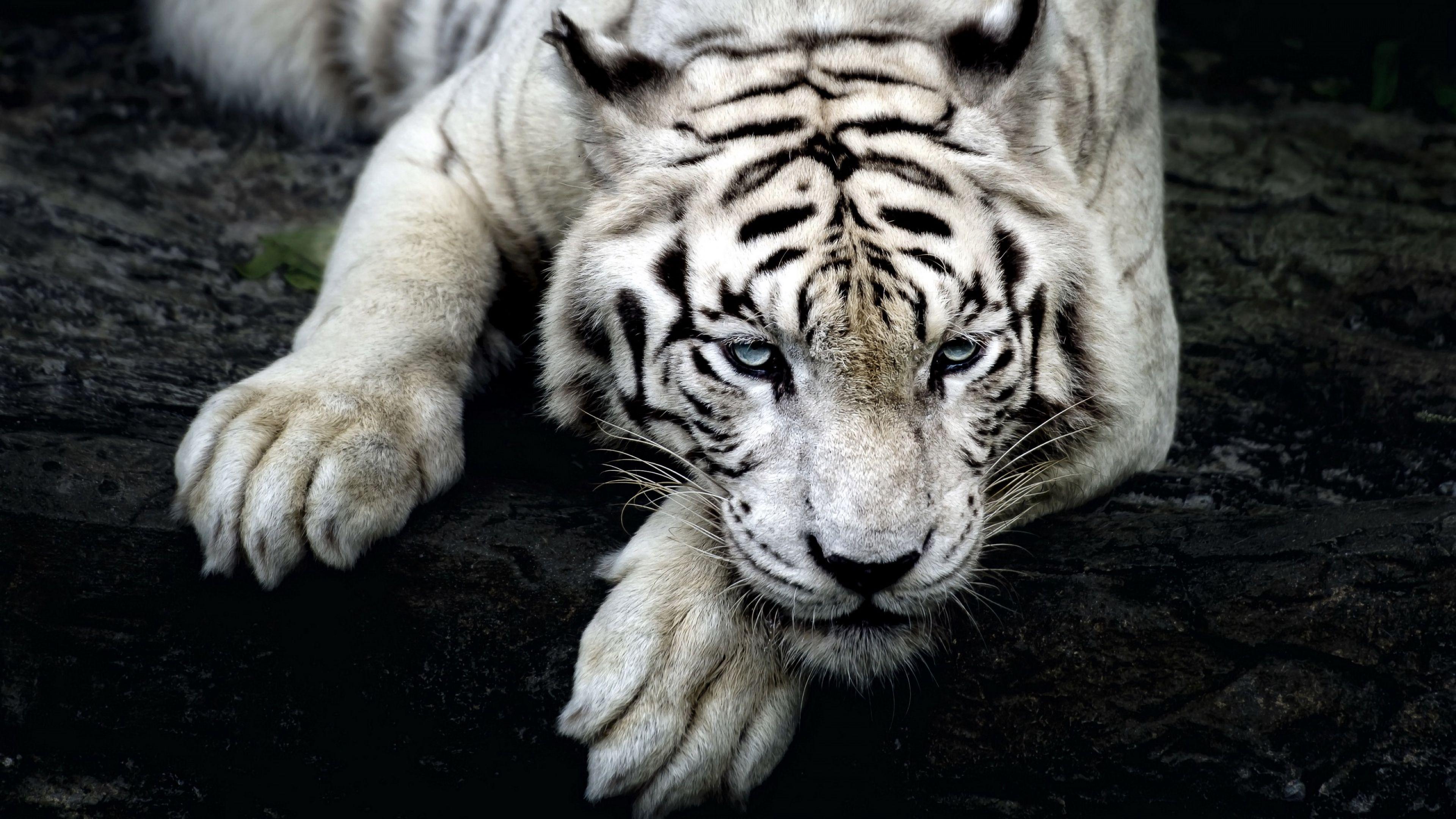 109956 Protetores de tela e papéis de parede Opinião em seu telefone. Baixe Animais, Predator, Predador, Visão, Opinião, Tigre, Tigre Branco, Pata fotos gratuitamente