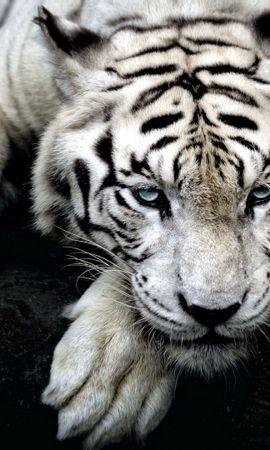 109956 免費下載壁紙 动物, 老虎, 虎, 白色的老虎, 白虎, 捕食者, 视线, 查看, 爪子, 拉帕 屏保和圖片