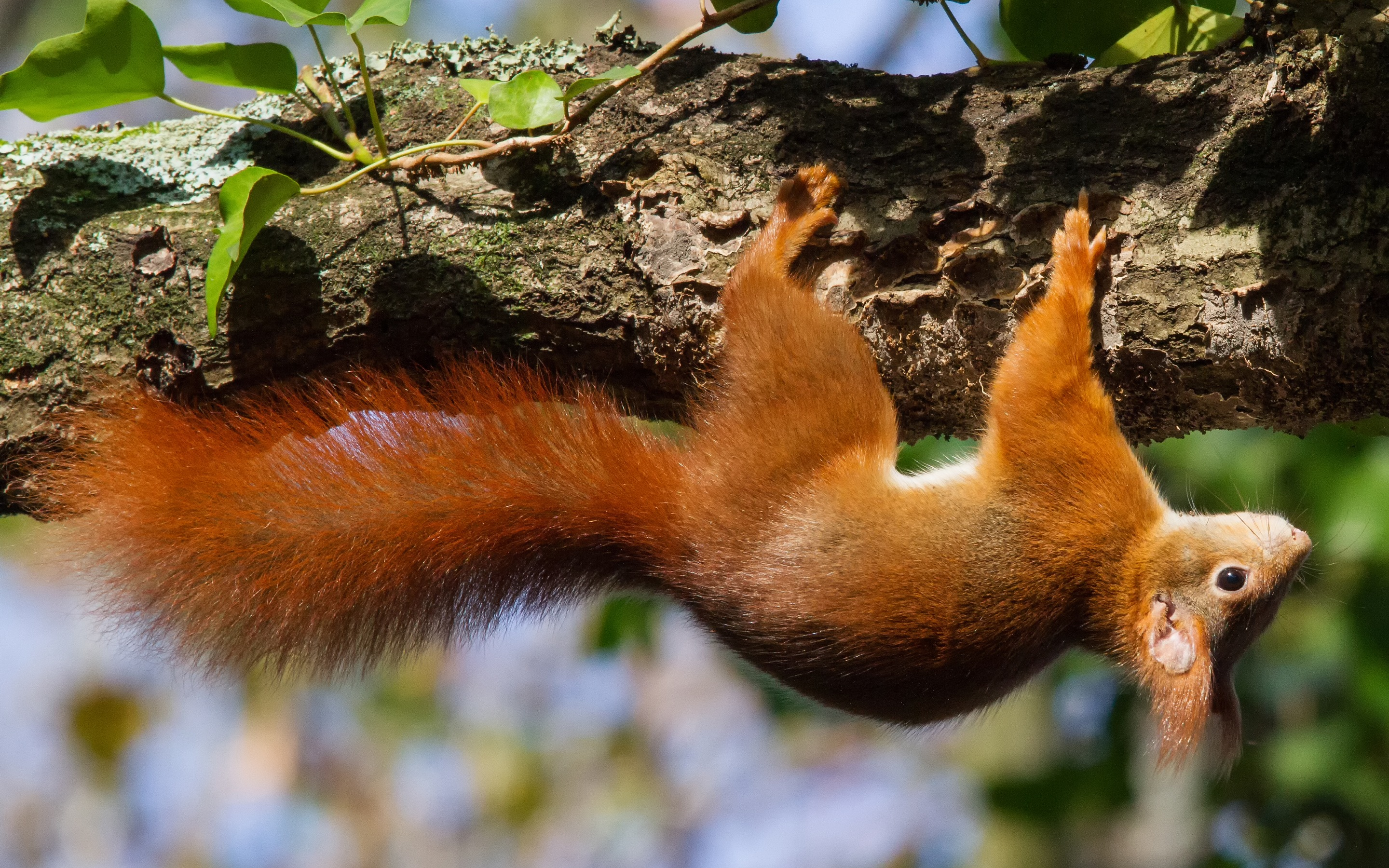 130650 download wallpaper Animals, Squirrel, Wood, Tree, Climb, Upside Down screensavers and pictures for free