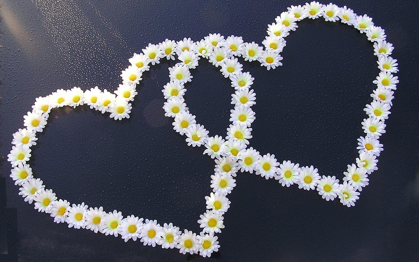 43520 скачать обои Растения, Цветы, Сердца, Ромашки - заставки и картинки бесплатно