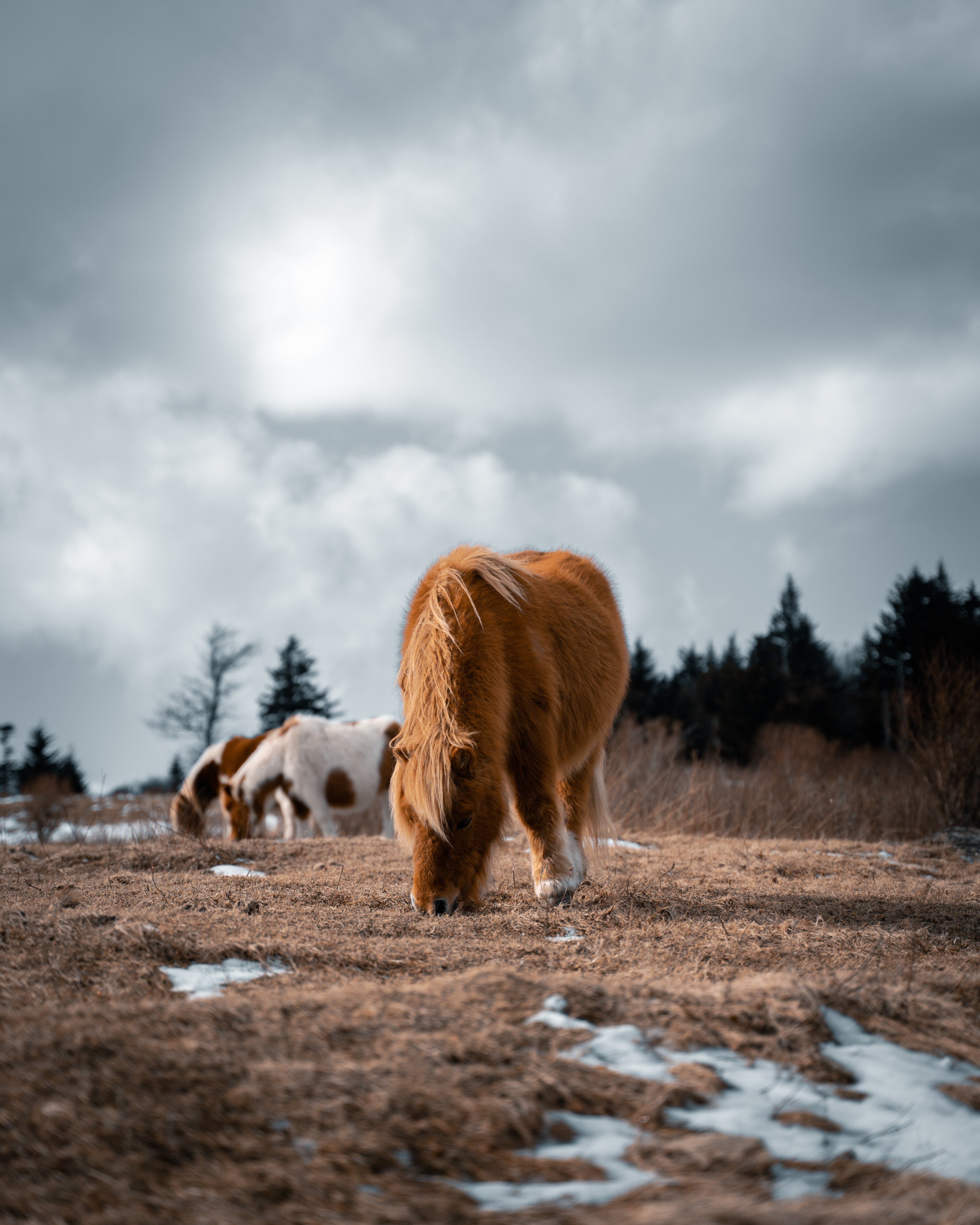 136668 download wallpaper Animals, Icelandic Horse, Horse, Pony, Fluffy, Animal screensavers and pictures for free