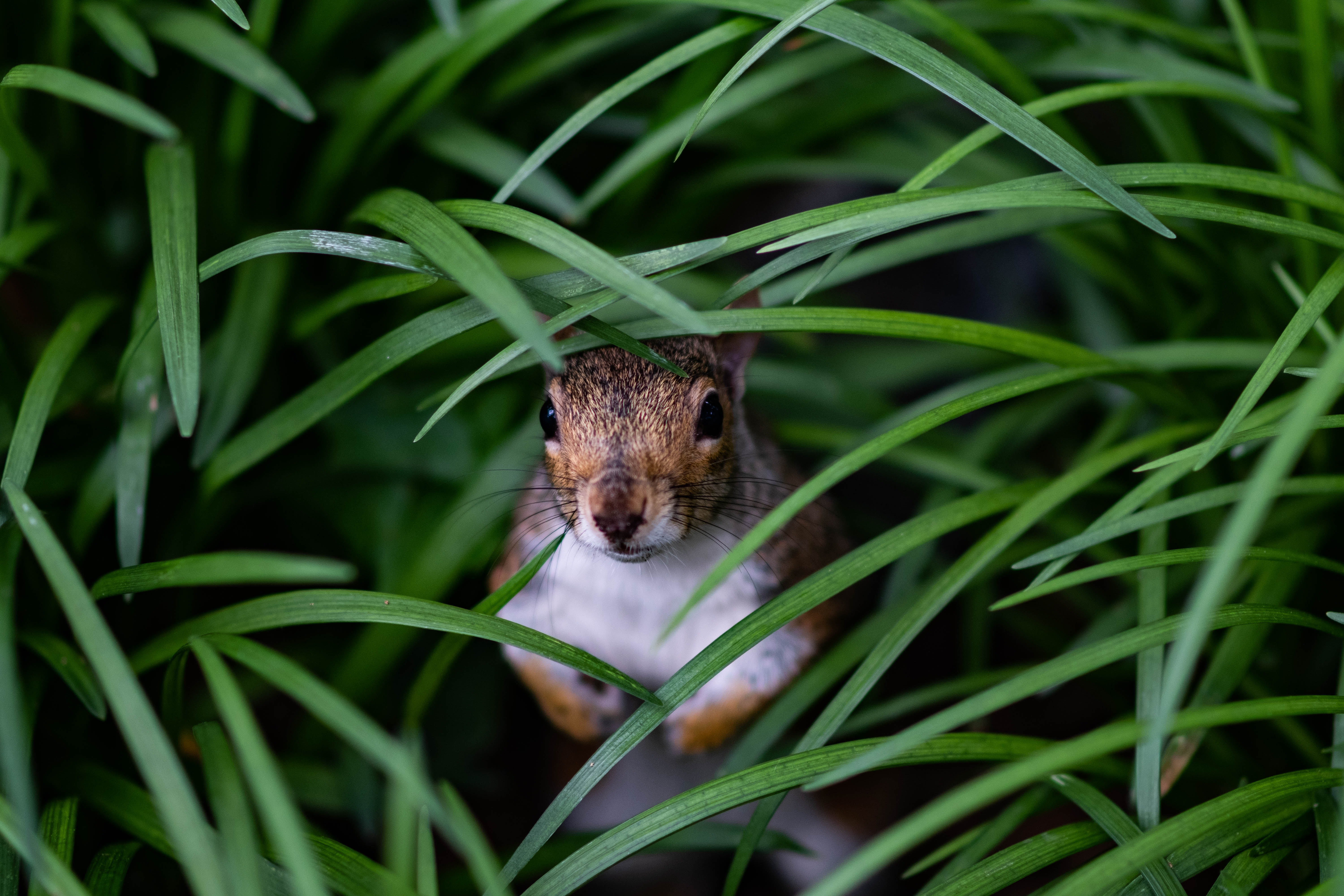 62920 Screensavers and Wallpapers Squirrel for phone. Download Animals, Squirrel, Grass, Hide, Peek Out, Look Out pictures for free