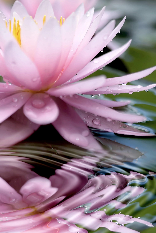 19389 скачать обои Растения, Цветы, Вода, Капли - заставки и картинки бесплатно