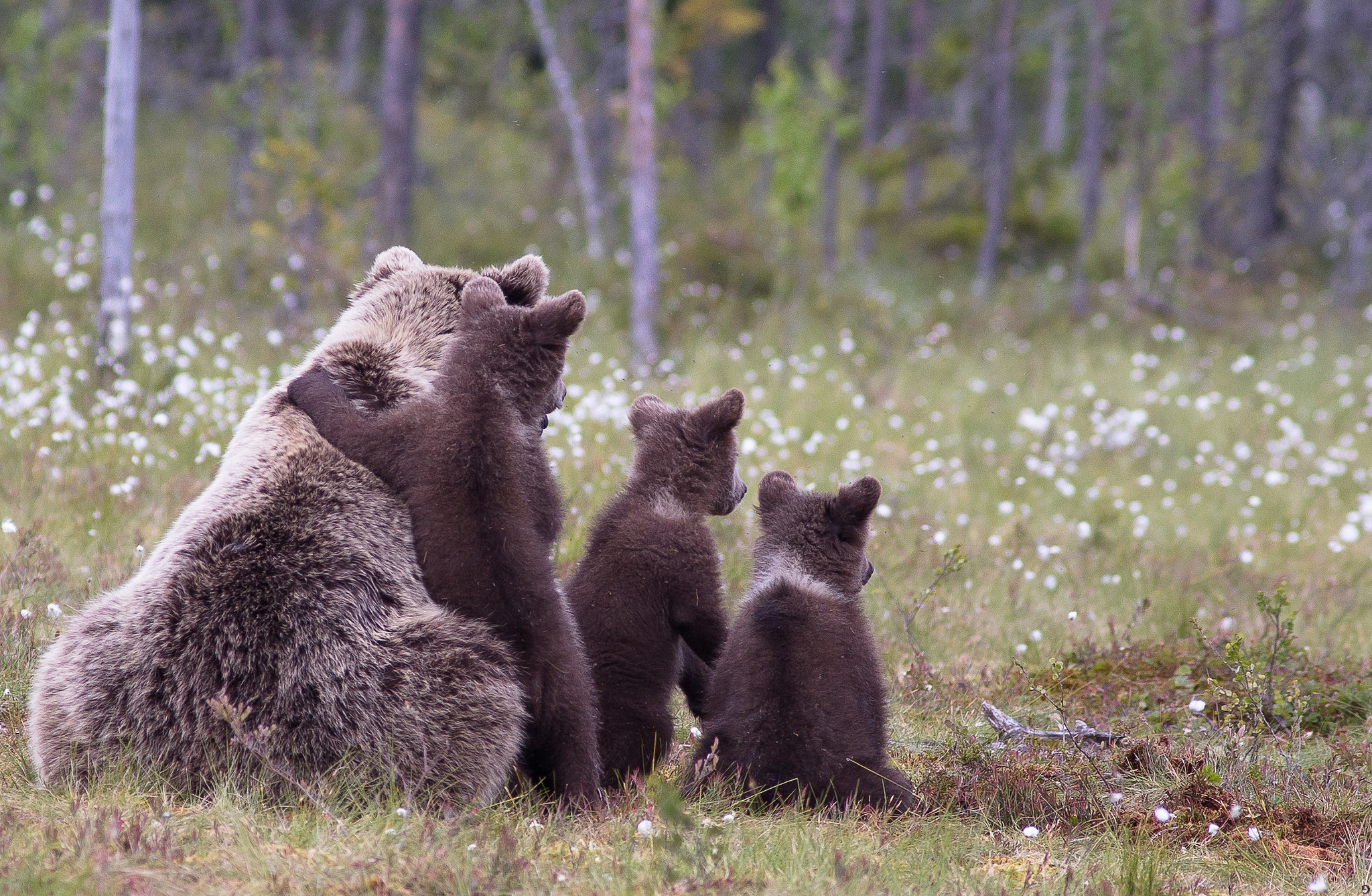 86078 Screensavers and Wallpapers Young for phone. Download Animals, Grass, Bears, Young, Family, Cubs pictures for free