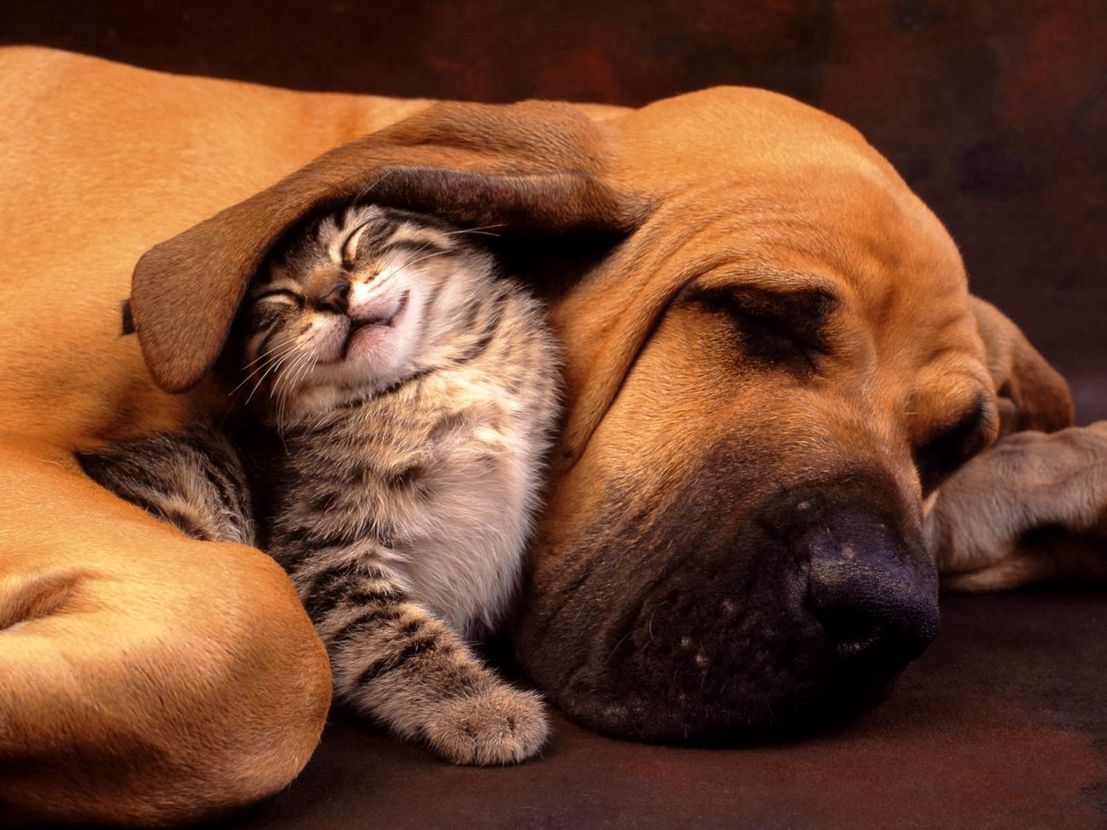 105848 Screensavers and Wallpapers Kitten for phone. Download Animals, Kitty, Kitten, Dog, Care, Ear, An Ear pictures for free