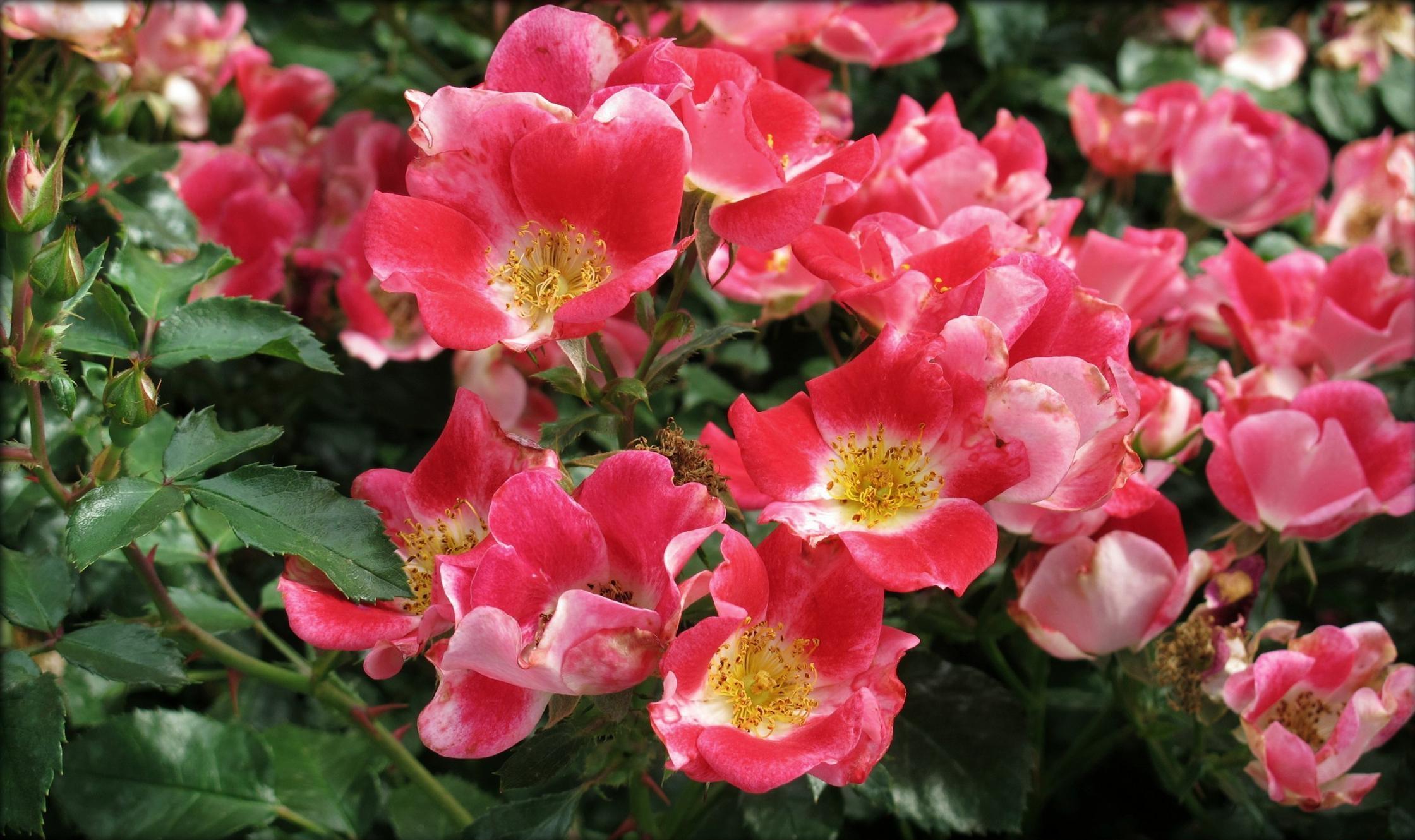 128434 скачать обои Цветы, Шиповник, Кустарник, Цветение, Листья - заставки и картинки бесплатно