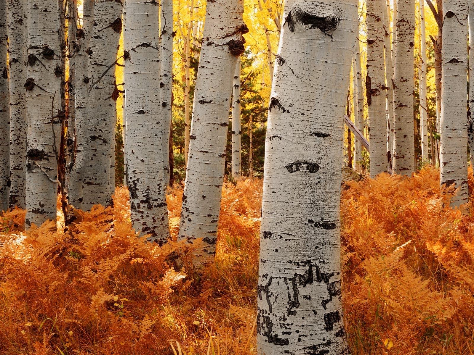 9785 скачать обои Пейзаж, Деревья, Осень, Березы - заставки и картинки бесплатно
