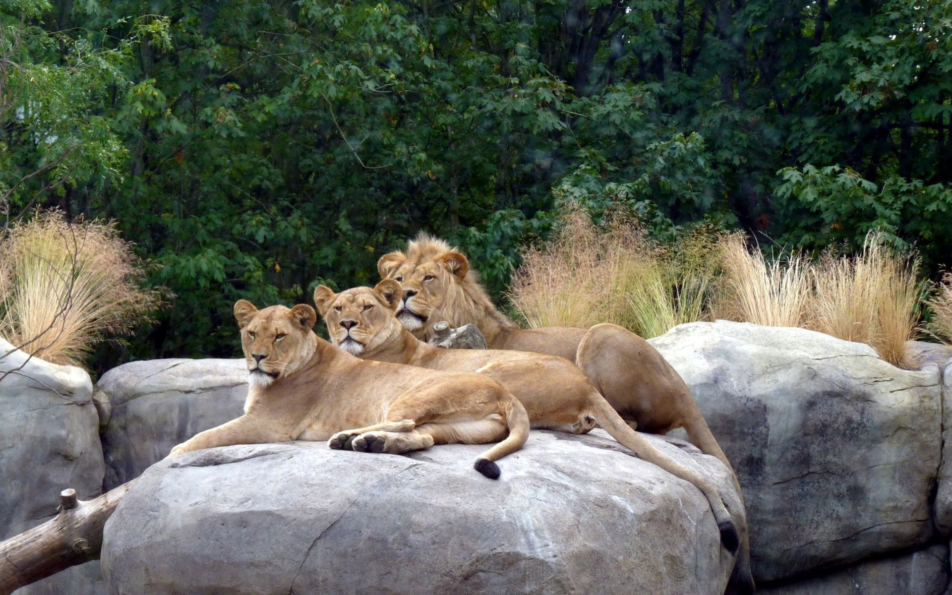 140880 download wallpaper Animals, To Lie Down, Lie, Stones, Grass, Predators, Lions screensavers and pictures for free