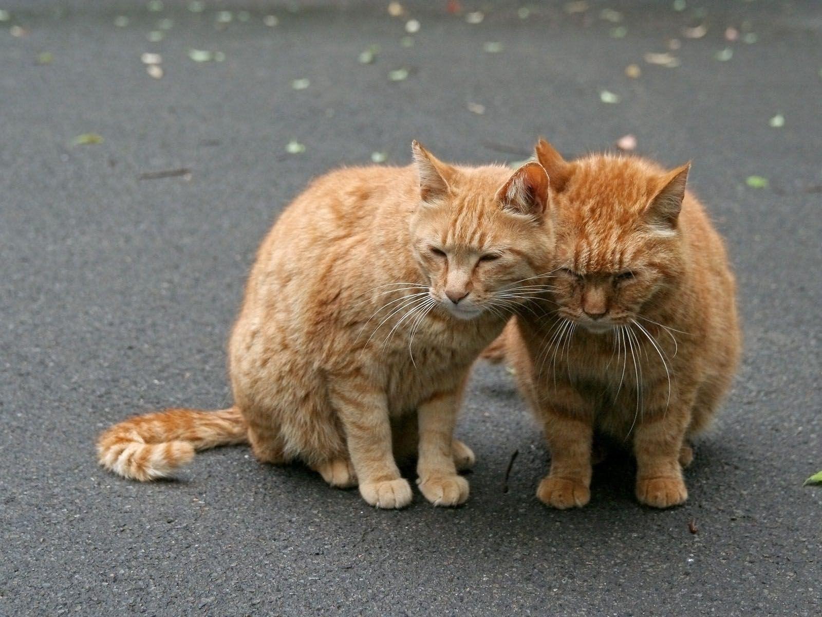 125147 завантажити шпалери Тварини, Коти, Кішки, Пара, Ніжність, Турбота, Догляд - заставки і картинки безкоштовно