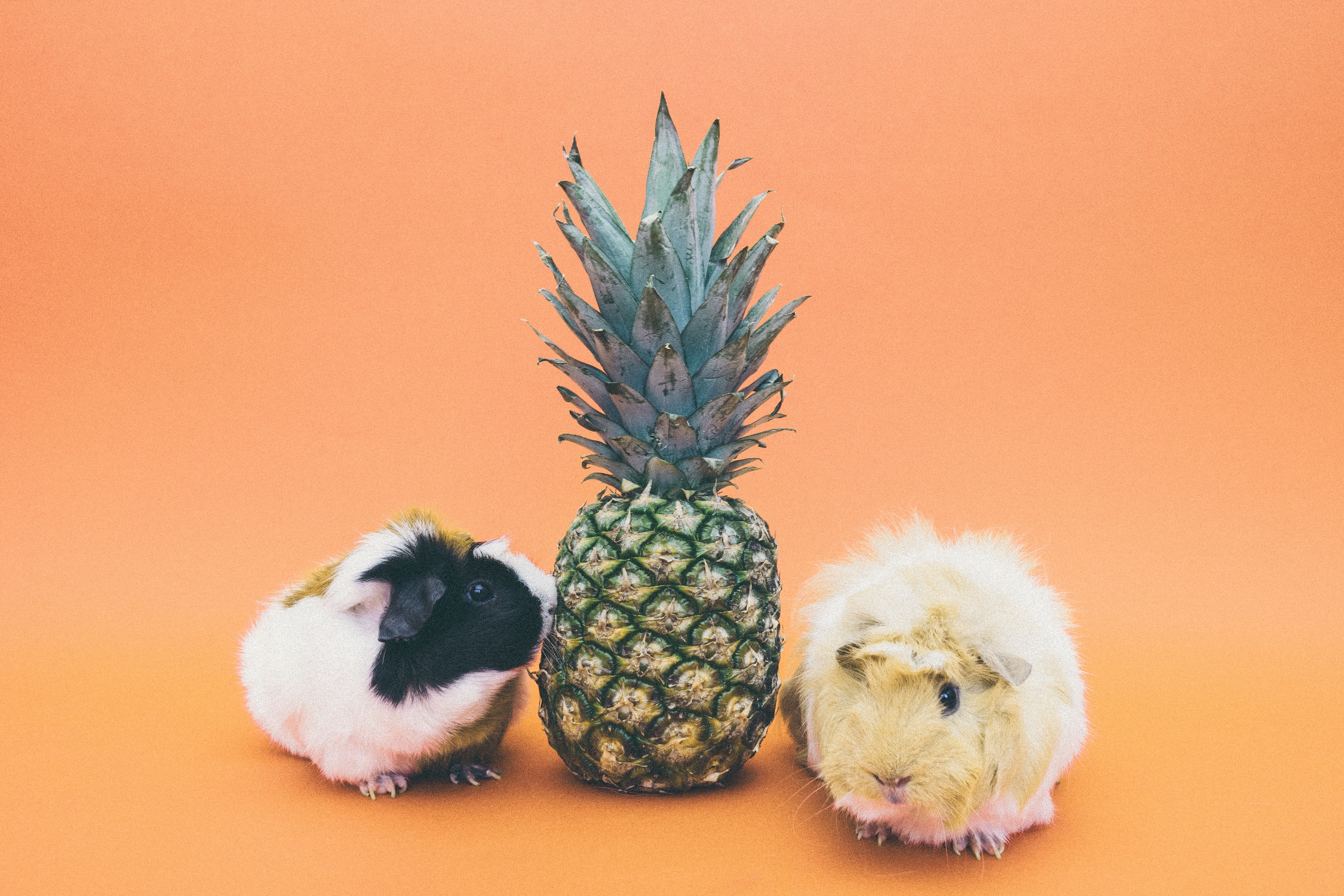 Download mobile wallpaper Rodent, Pineapple, Animals, Guinea Pig for free.