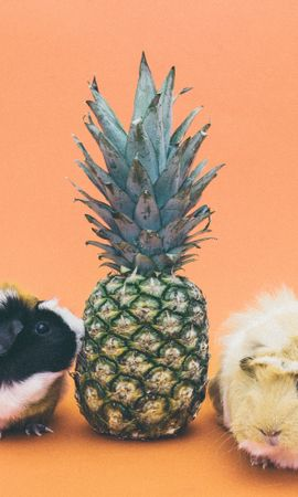 157481 download wallpaper Animals, Guinea Pig, Pineapple, Rodent screensavers and pictures for free
