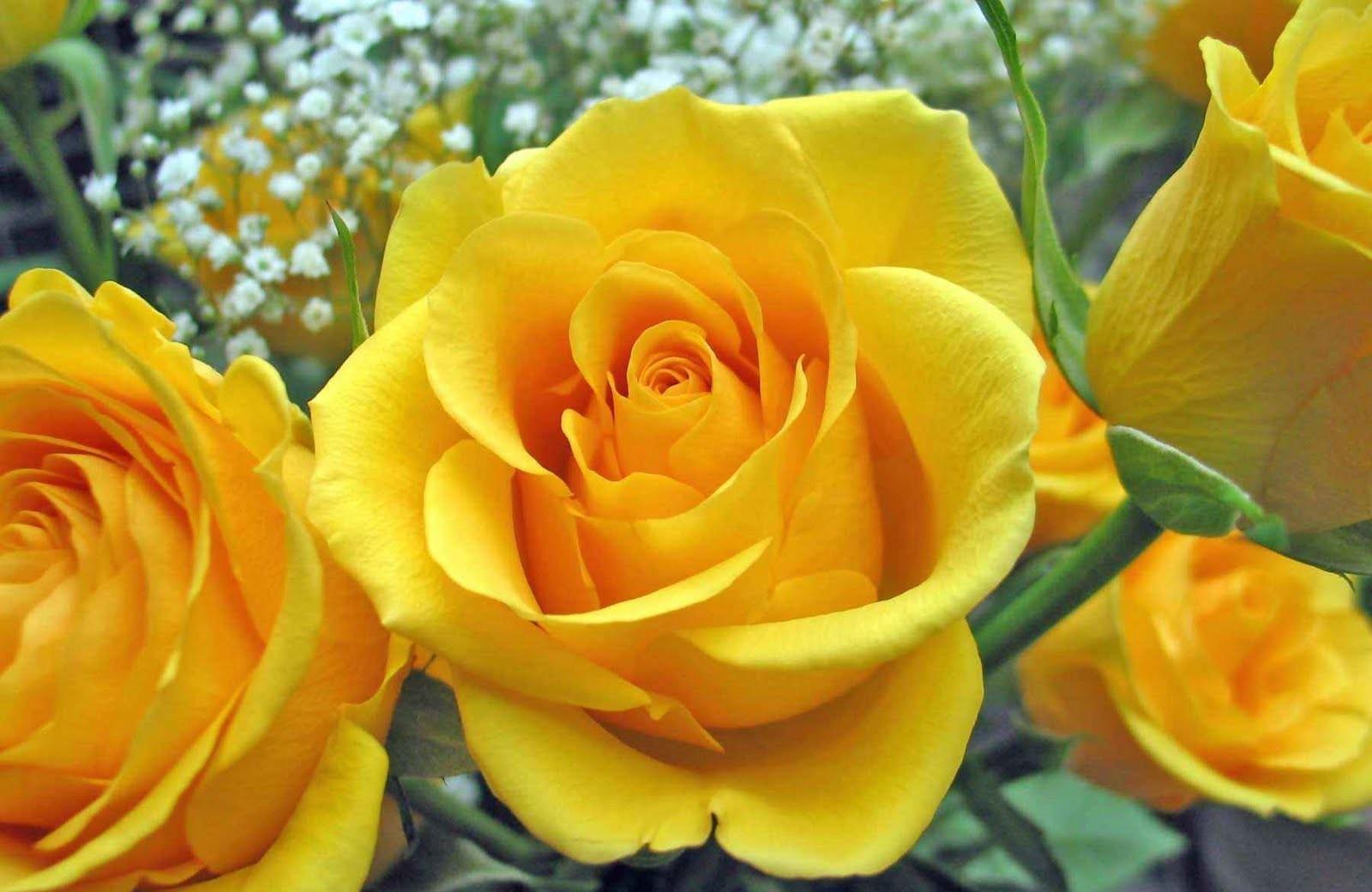 90794 скачать Желтые обои на телефон бесплатно, Бутоны, Розы, Цветы, Крупный План Желтые картинки и заставки на мобильный