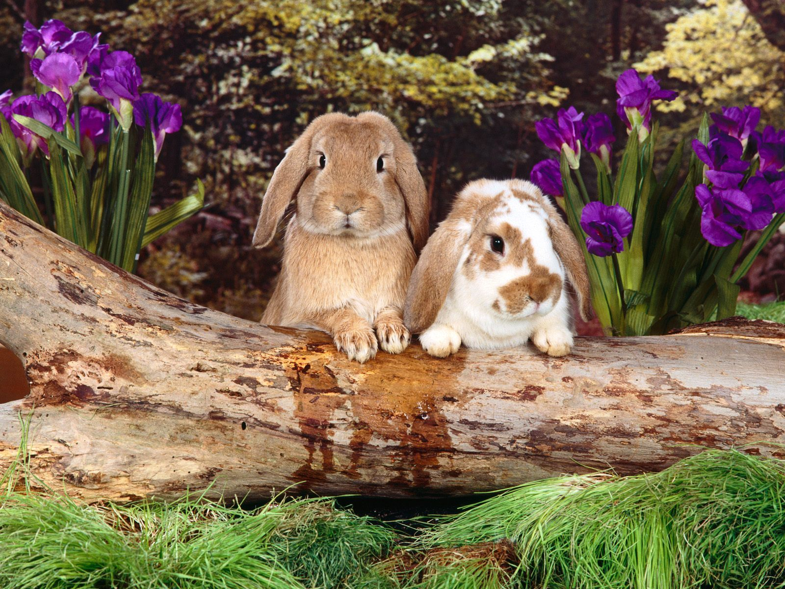 10592 download wallpaper Animals, Rodents, Rabbits screensavers and pictures for free