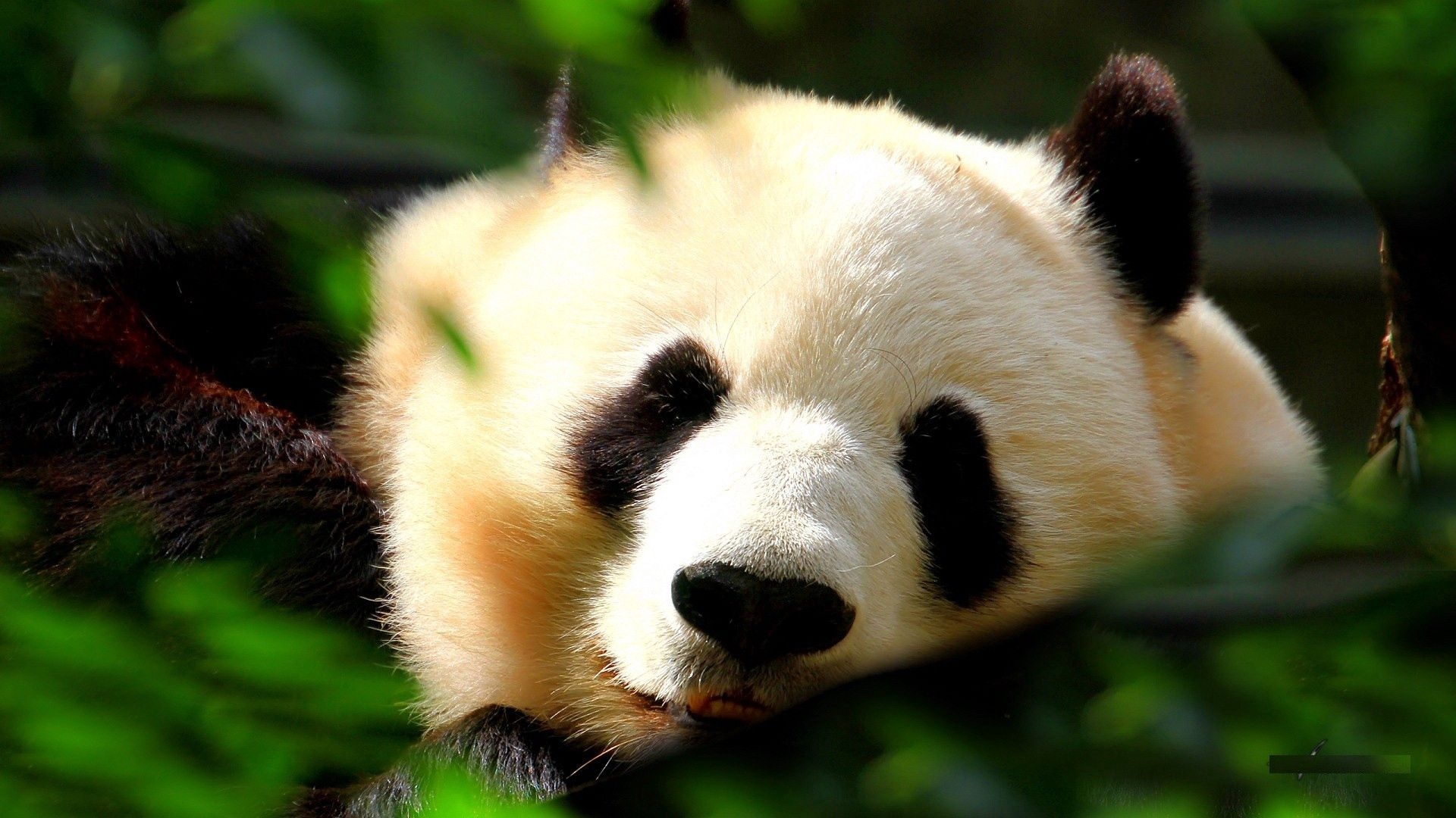 150873 download wallpaper Animals, Panda, Muzzle, Grass, Sleep, Dream screensavers and pictures for free