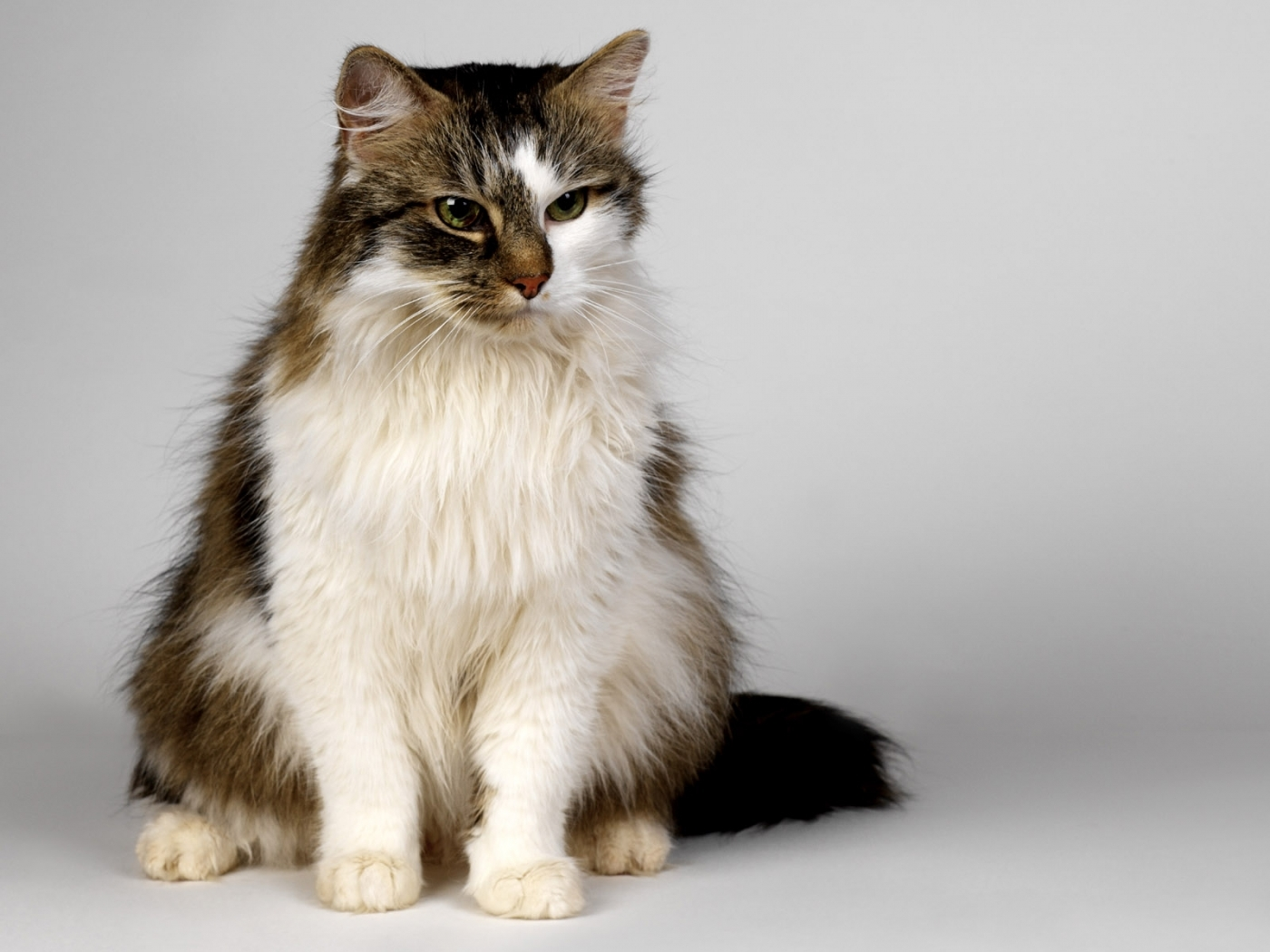 49525 download wallpaper Animals, Cats screensavers and pictures for free