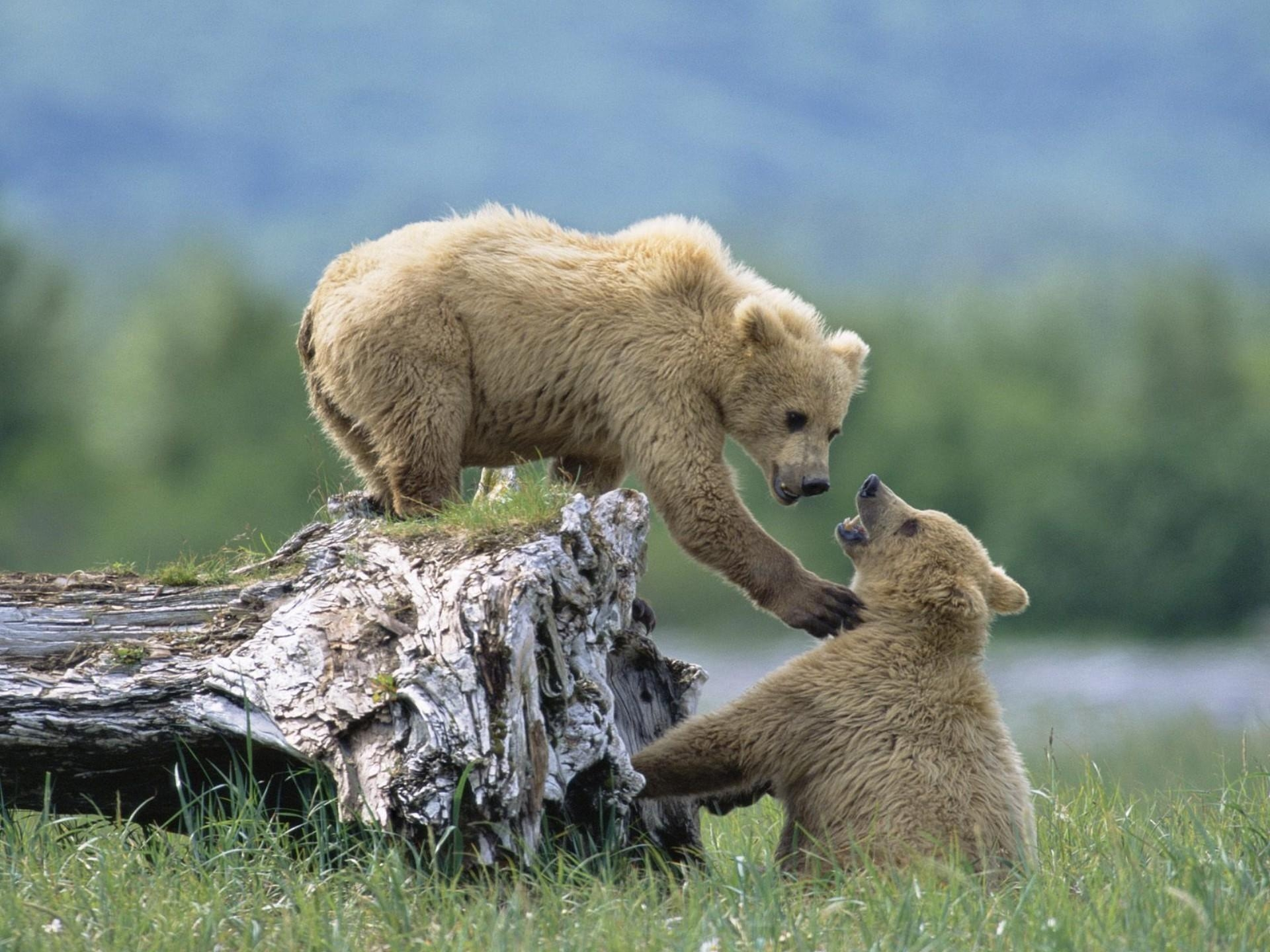91119 Screensavers and Wallpapers Bears for phone. Download Animals, Grass, Bears, Young, Cubs, Climb, Log pictures for free