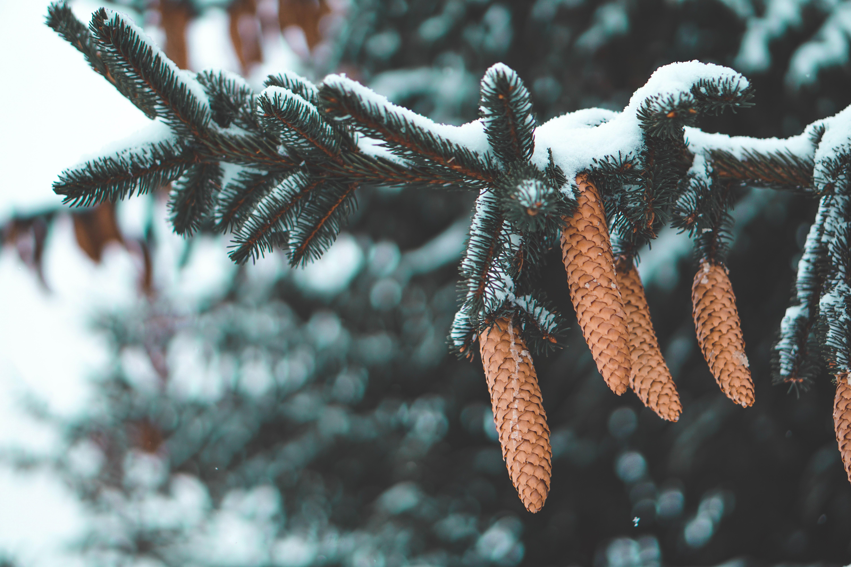 76538 скачать обои Природа, Шишки, Пихта, Иголки, Ветка, Снег - заставки и картинки бесплатно