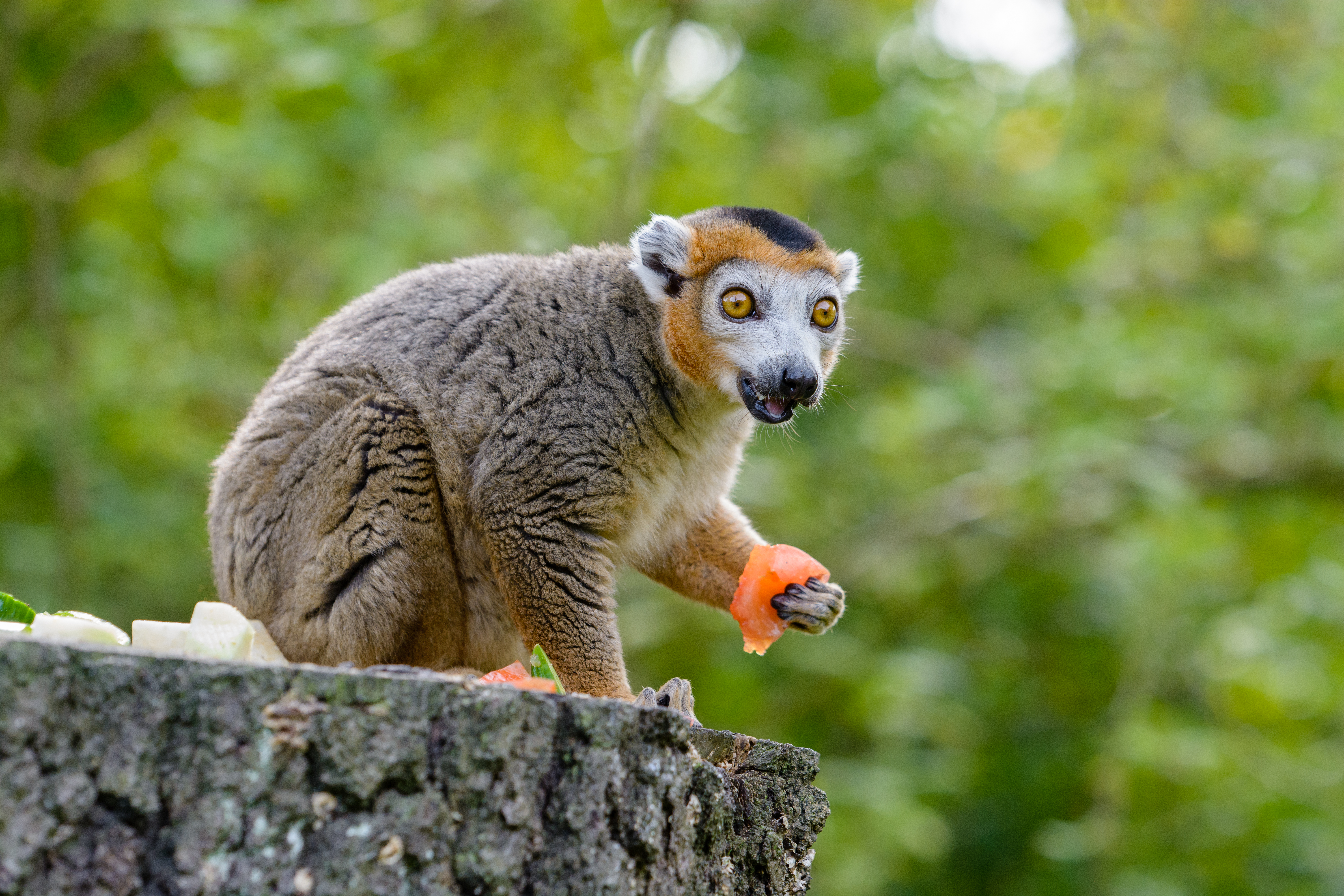 72400 download wallpaper Animals, Lemur, Eat, Emotions, Surprise, Astonishment screensavers and pictures for free