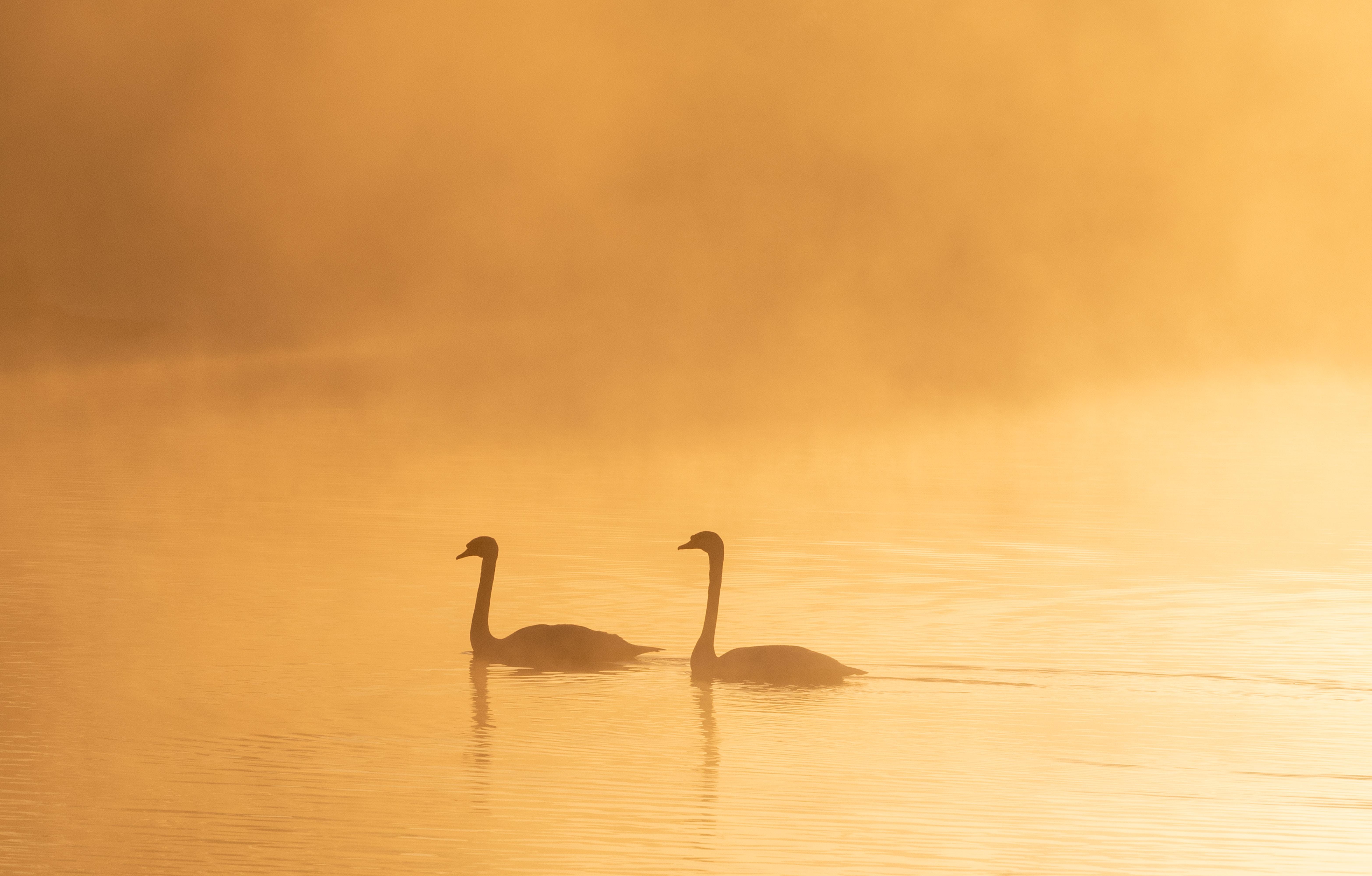 61072 Hintergrundbild herunterladen Tiere, Vögel, Swans, Nebel, Silhouetten, Dämmerung, Twilight - Bildschirmschoner und Bilder kostenlos