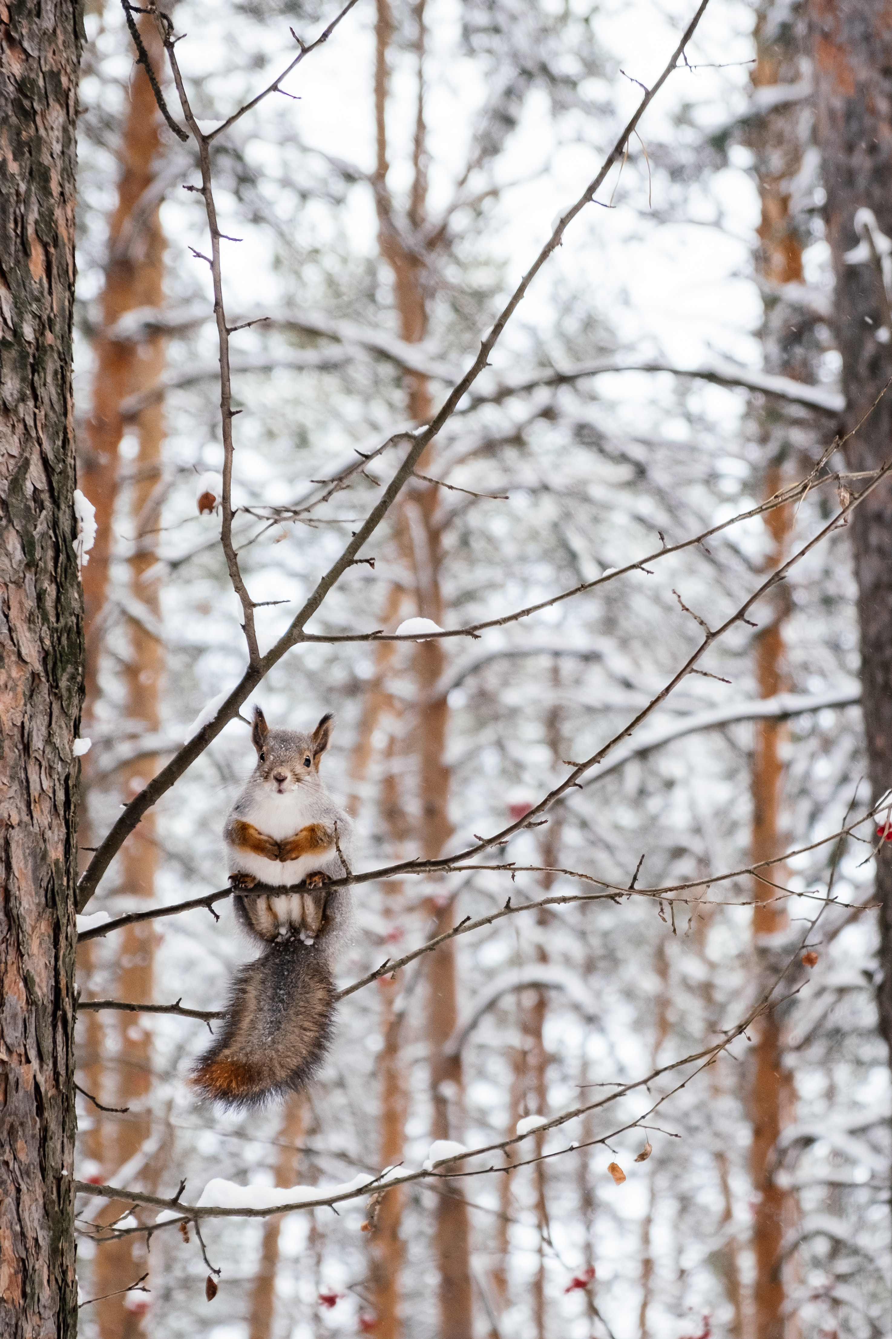 68971 Screensavers and Wallpapers Squirrel for phone. Download Animals, Squirrel, Wood, Tree, Branch, Nice, Sweetheart, Rodent pictures for free