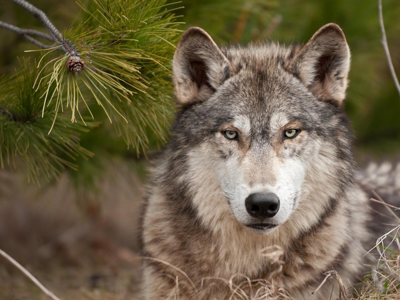 47321 Hintergrundbild herunterladen Wölfe, Tiere - Bildschirmschoner und Bilder kostenlos