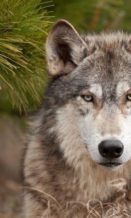 47321 завантажити шпалери Тварини, Вовки - заставки і картинки безкоштовно