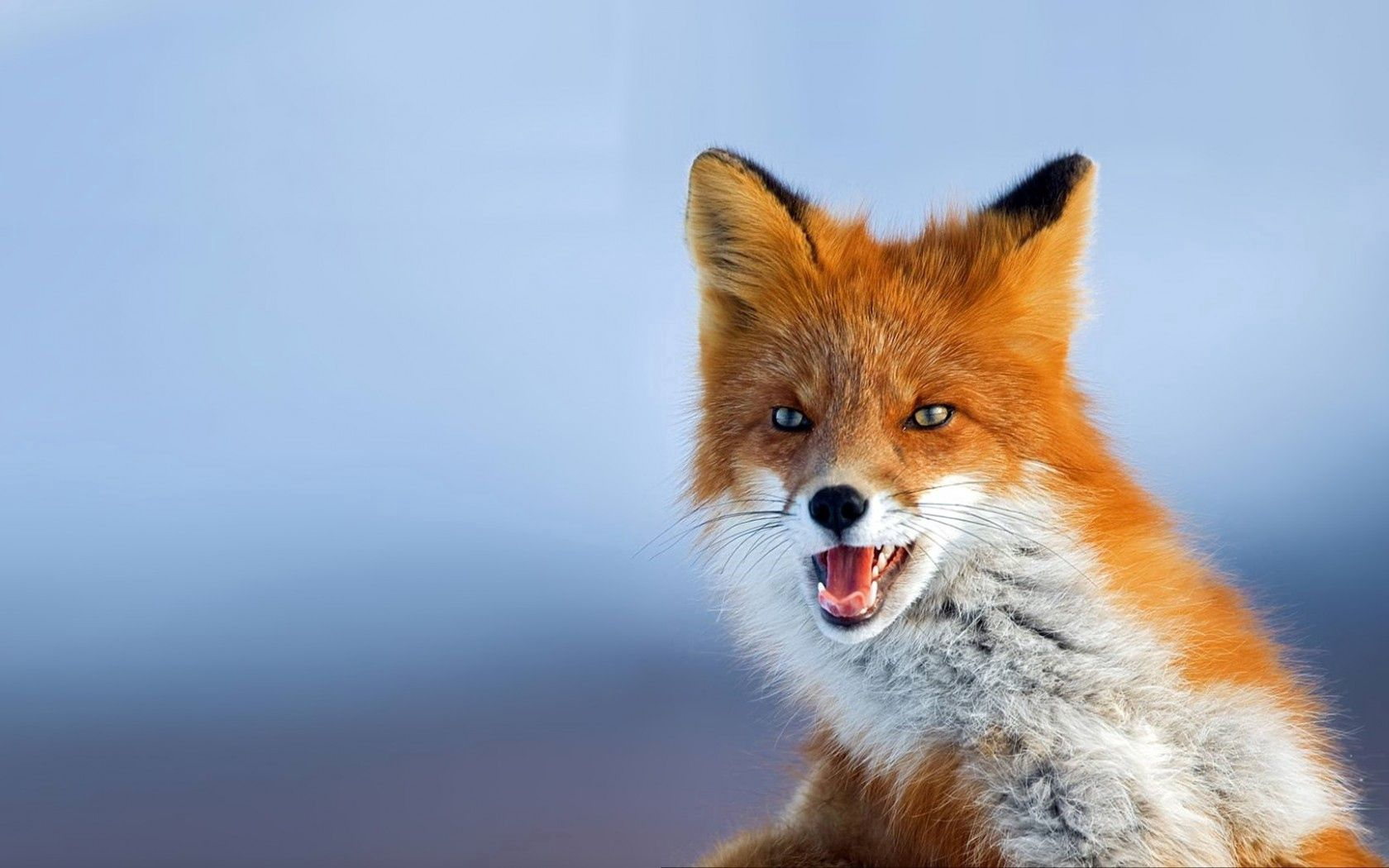 123334 Screensavers and Wallpapers Photo for phone. Download Animals, Fox, Photo, Redhead, Looks, Background pictures for free