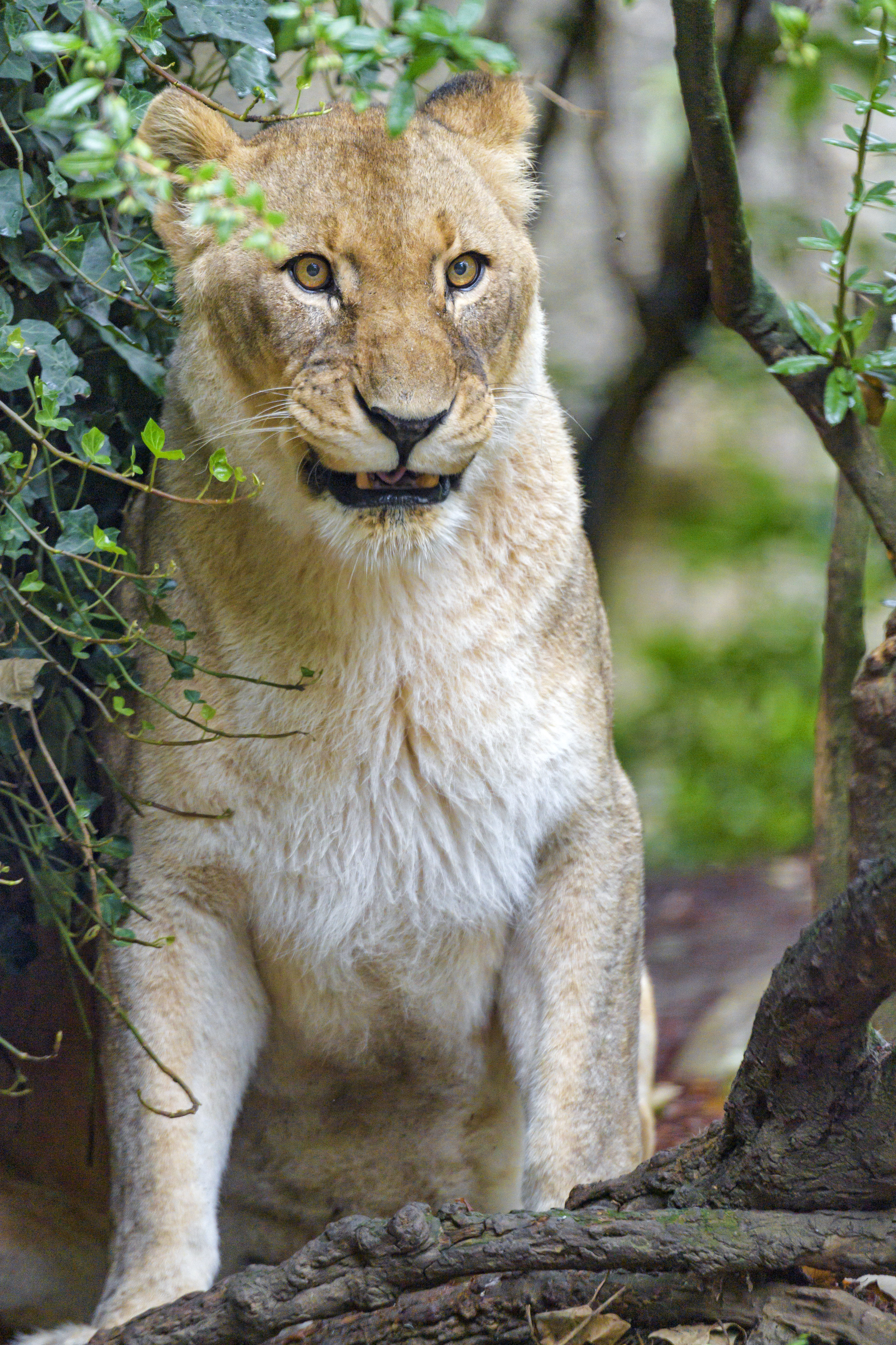 77731 download wallpaper Animals, Lioness, Big Cat, Predator, Sight, Opinion, Branches screensavers and pictures for free