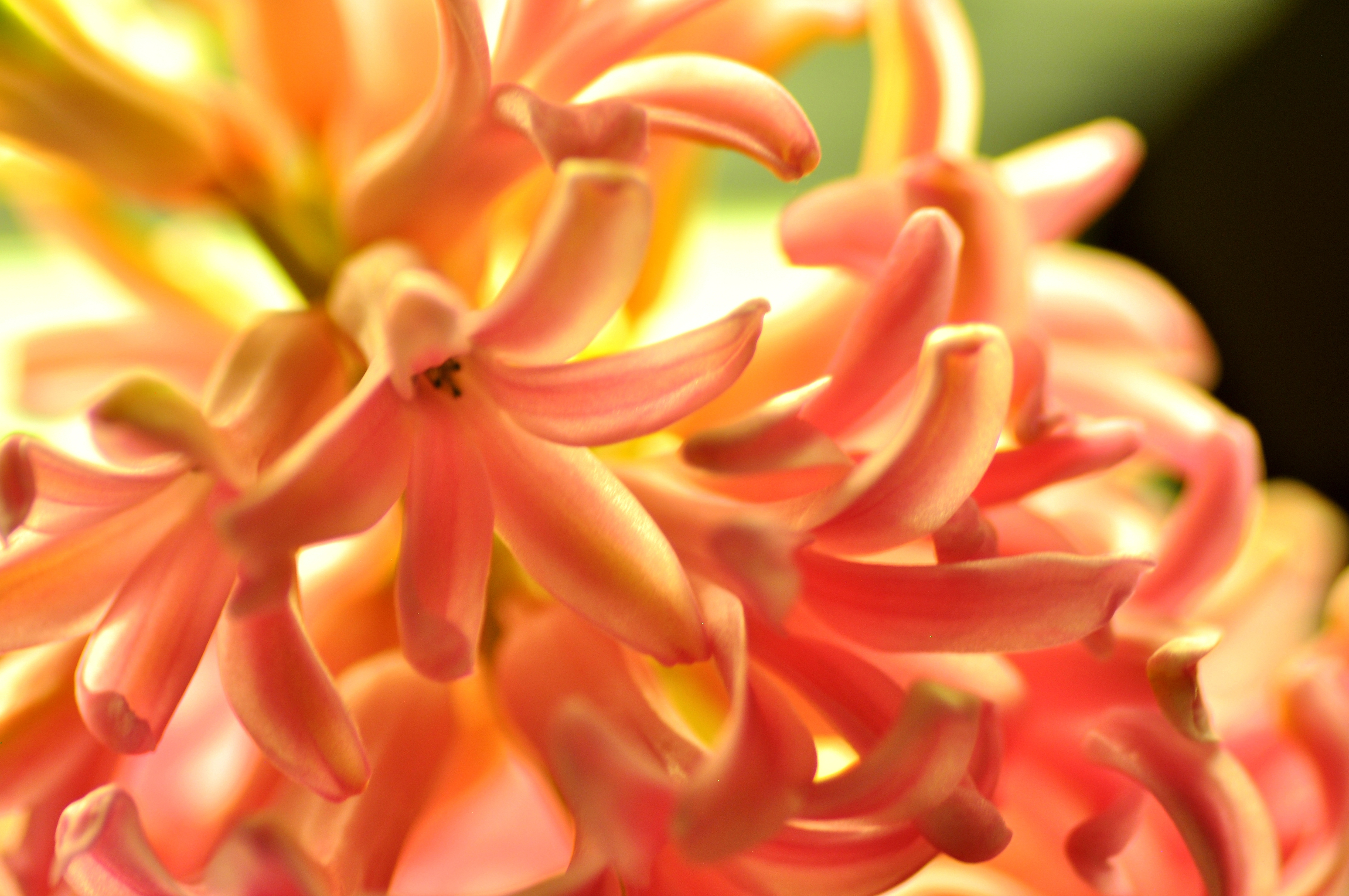 156263 free download Orange wallpapers for phone, Nature, Hyacinth, Flower, Macro Orange images and screensavers for mobile