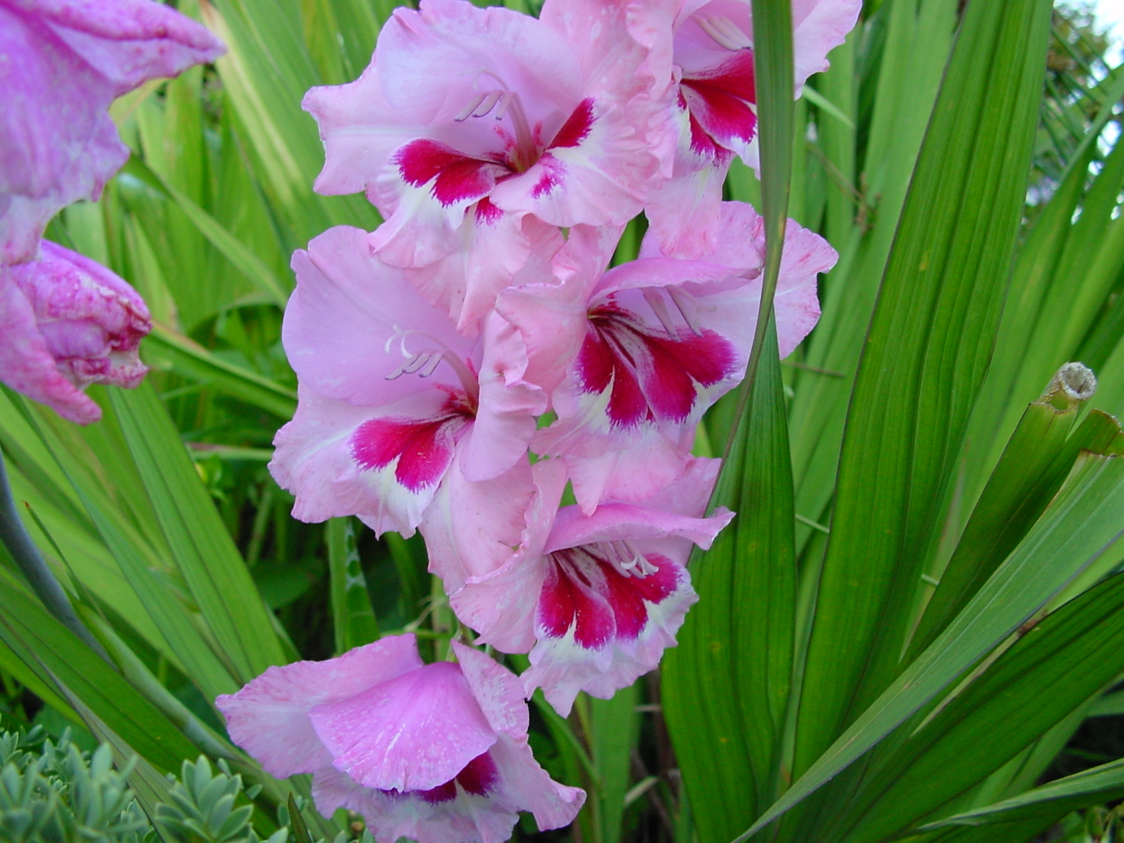 136588 download wallpaper Flowers, Leaves, Gladiolus screensavers and pictures for free
